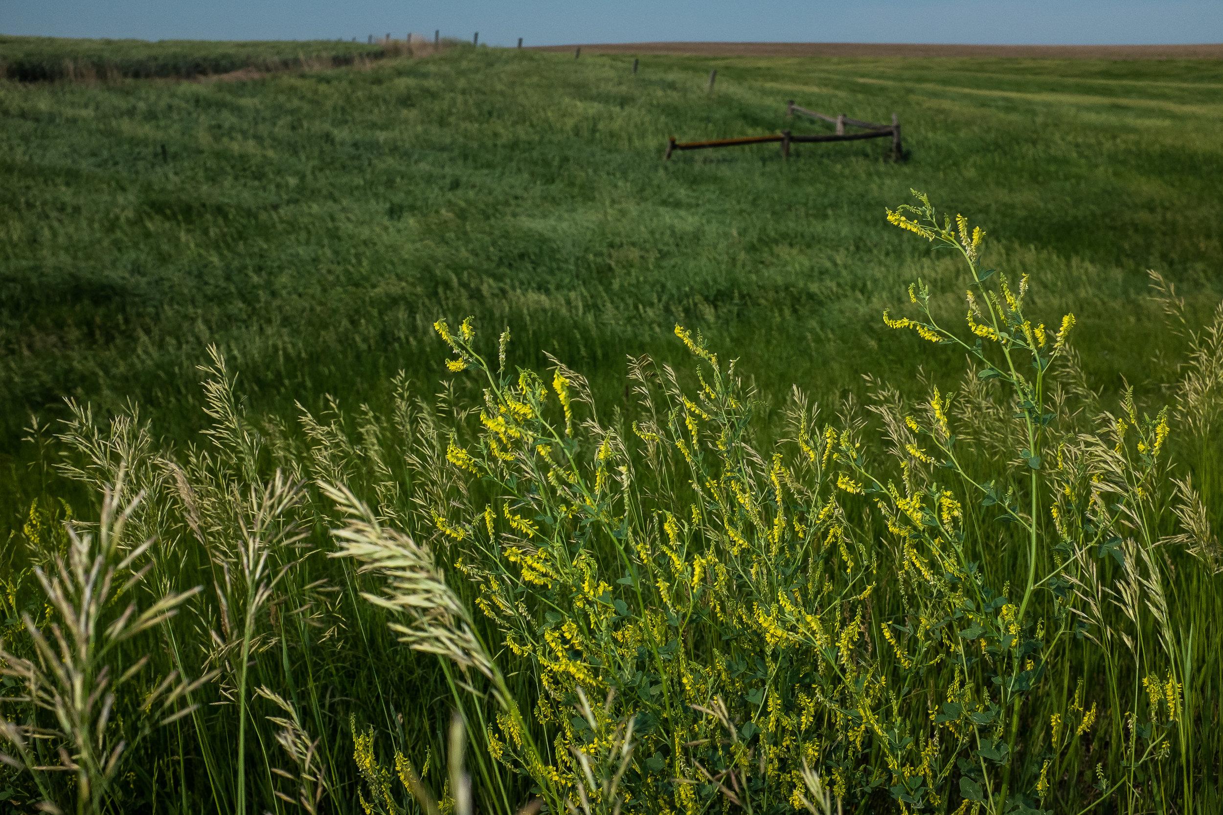 Goldenrod and open prairie, South Dakota.