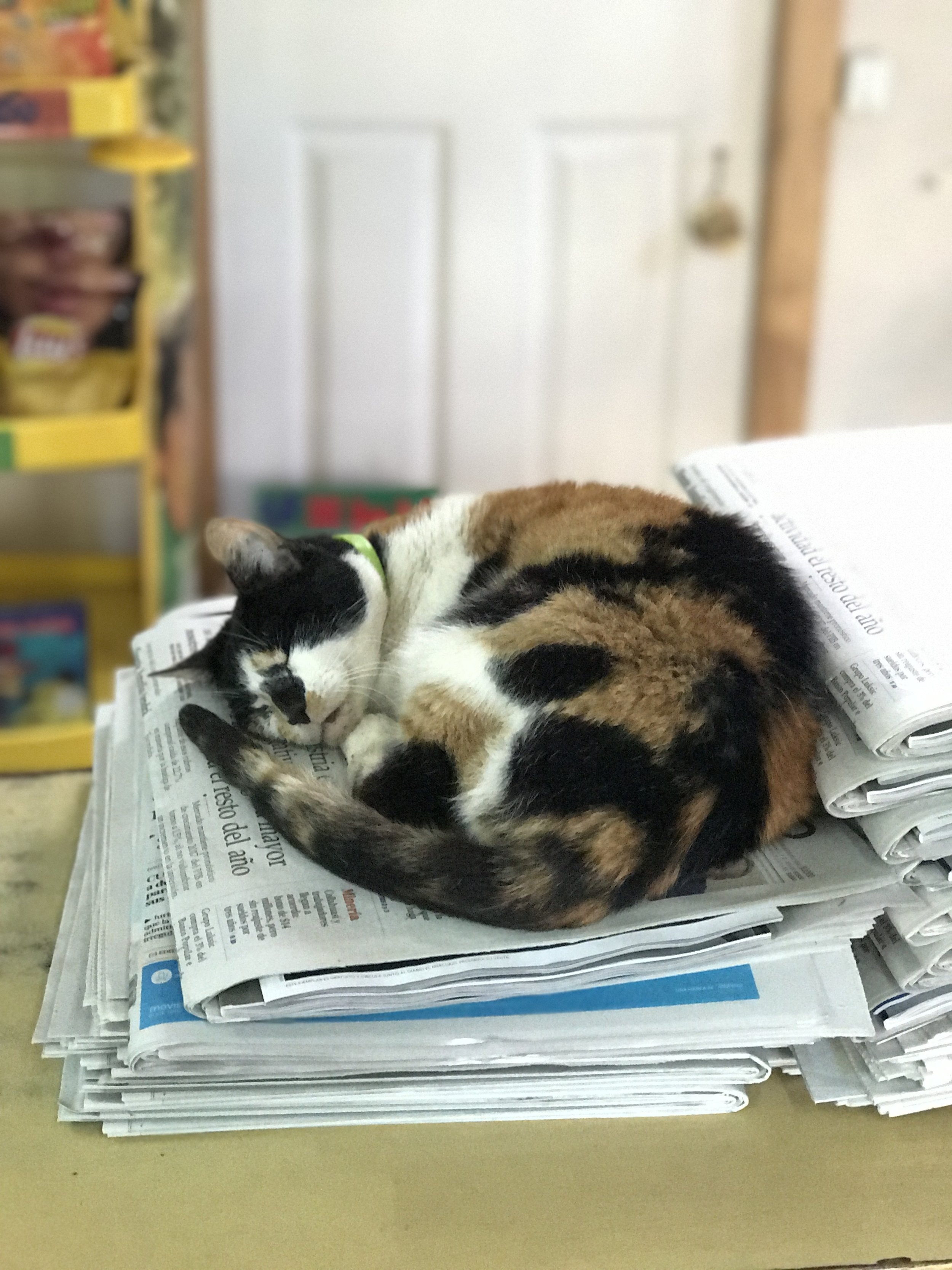 Where culture comes alive: a cat sleeping on top of newspapers in a small store in Zapallar.