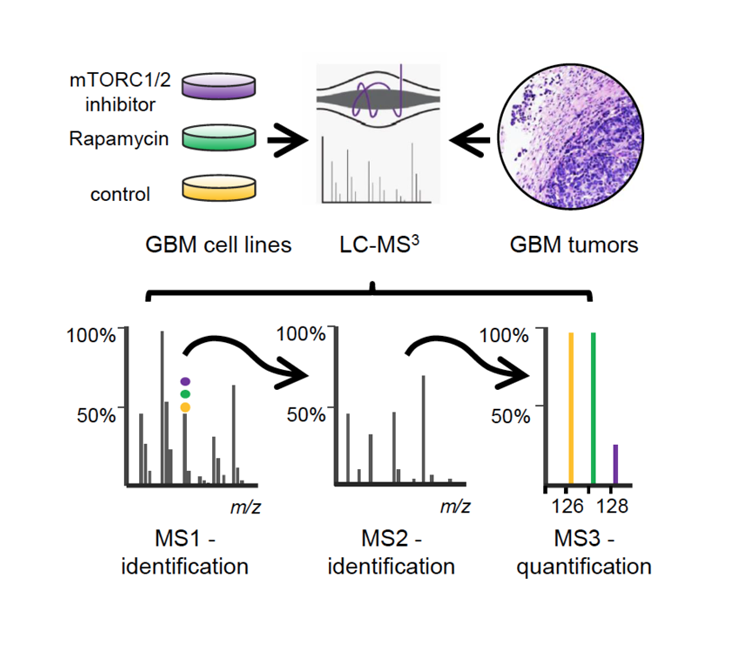 Experimental strategy for the identification of mTORC1 and 2 substrates in Glioblastoma multiforme (GBM) cell lines and tumors using quantitative multiplex mass spectrometry-based phosphoproteomics.