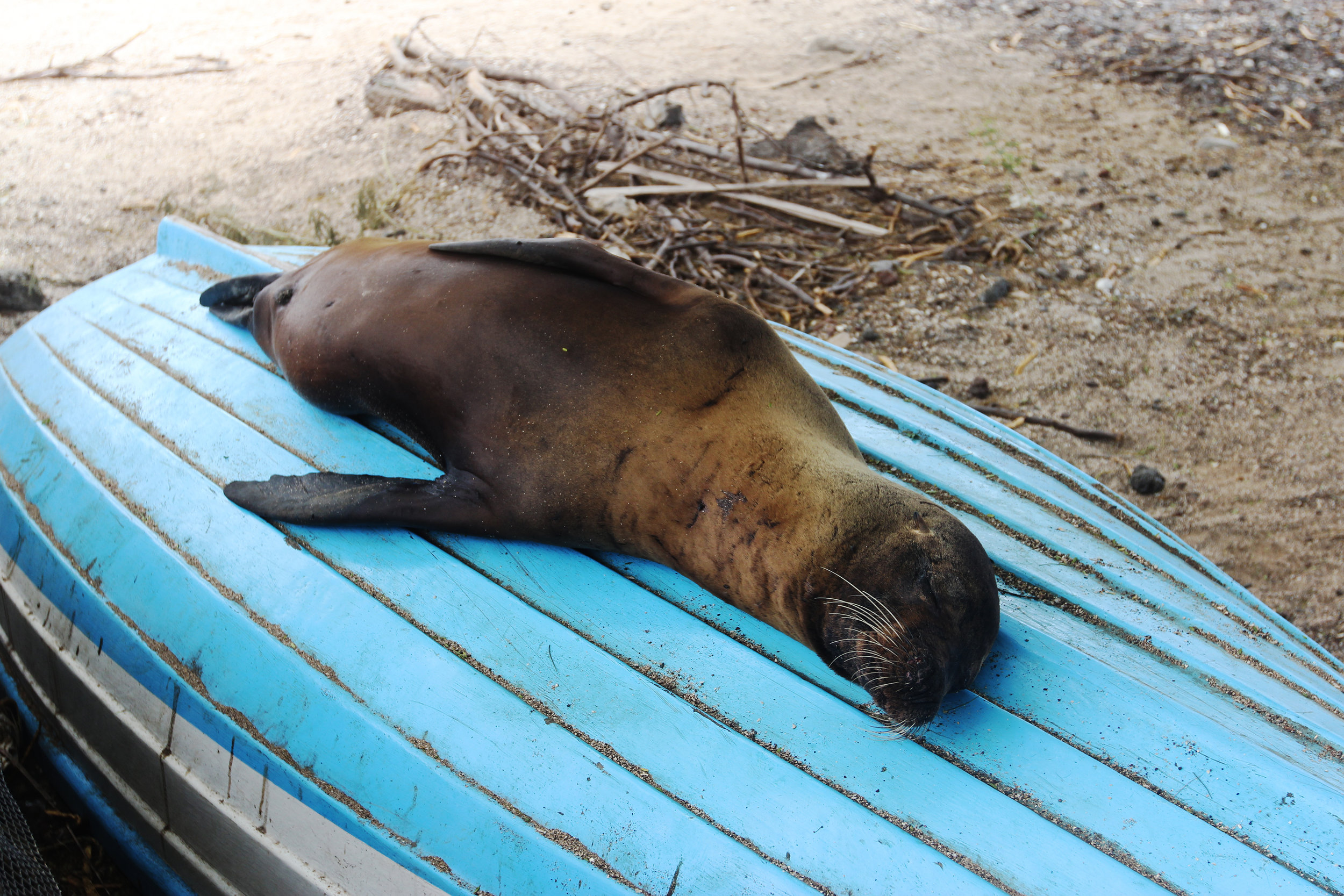 A Galápagos sea lion naps on an overturned boat in Puerto Baquerizo Moreno on the island of San Cristóbal.