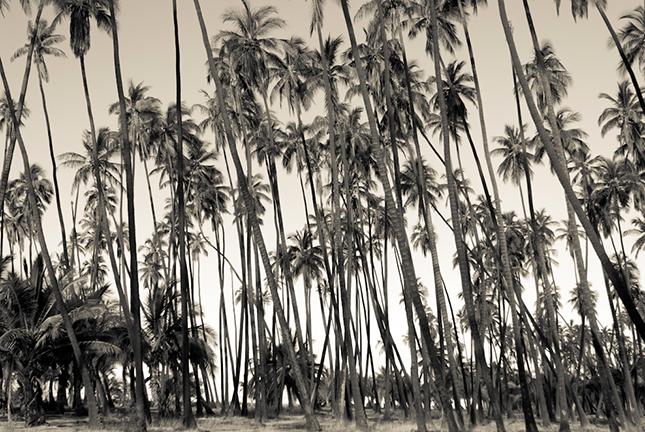 COCONUT GROVE, MOLOKAI