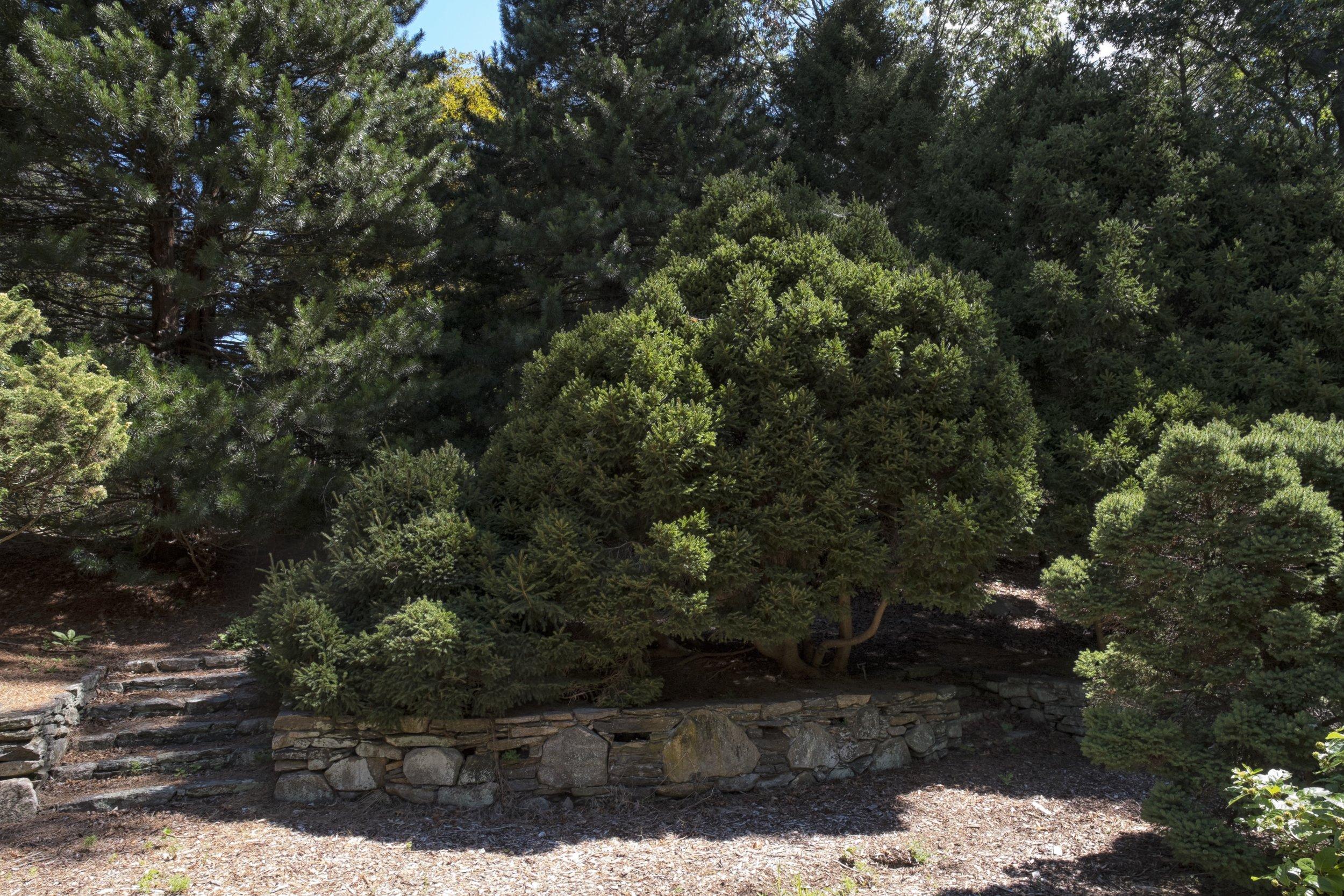 Conifer 7.jpg