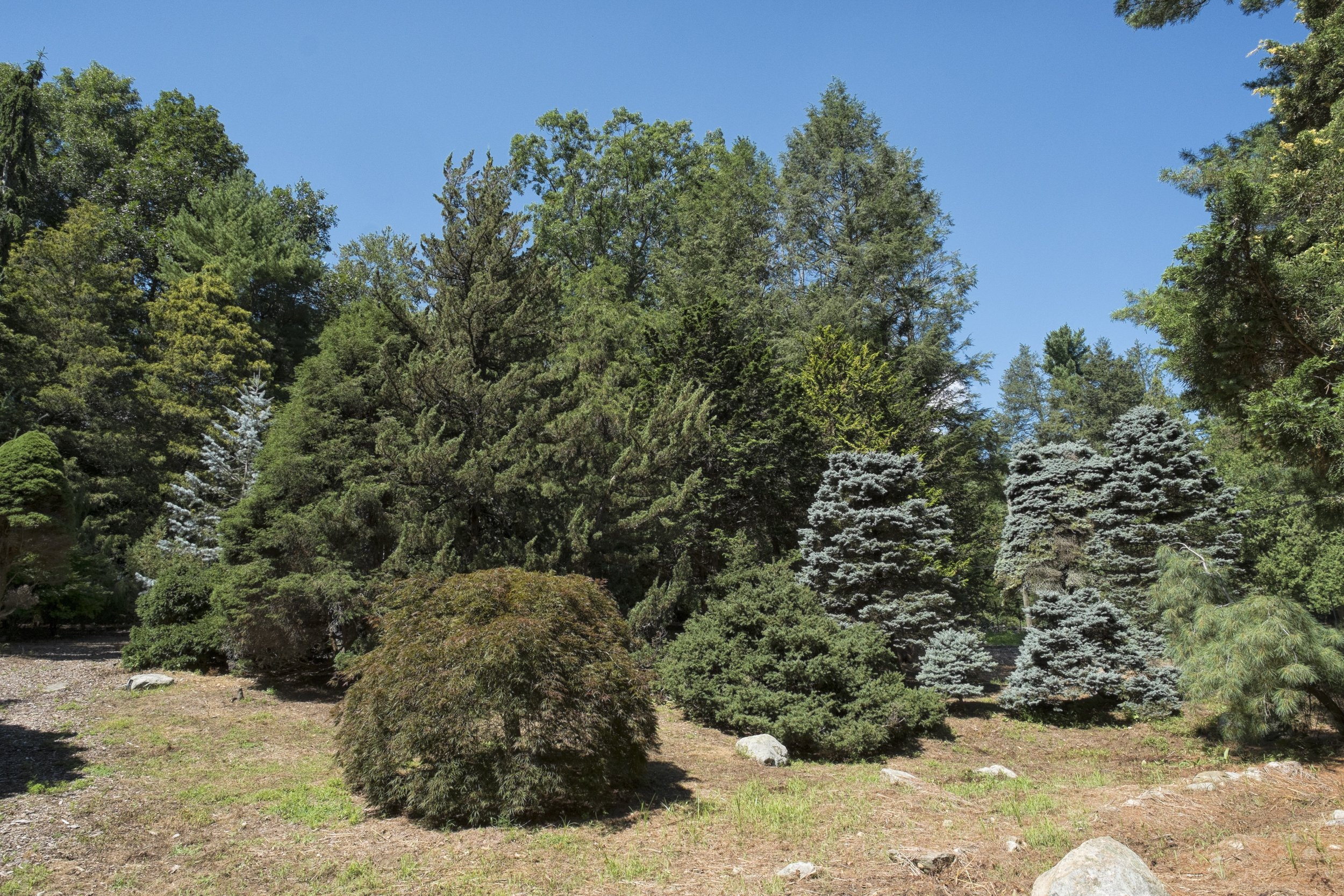 Conifer6.jpg