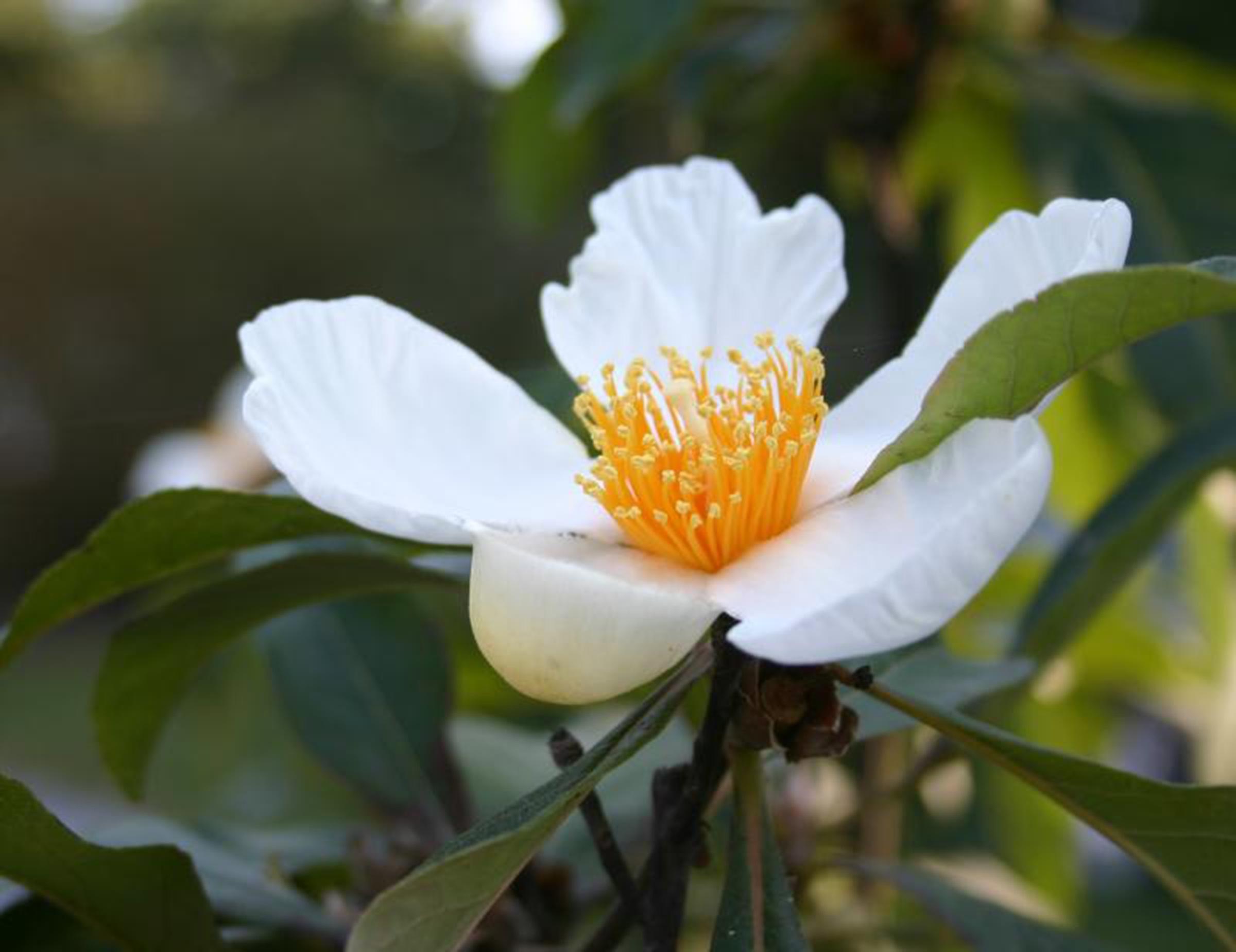 Stewartia Flower.jpg
