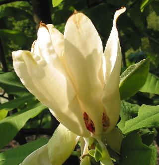 Umbrella Magnolia