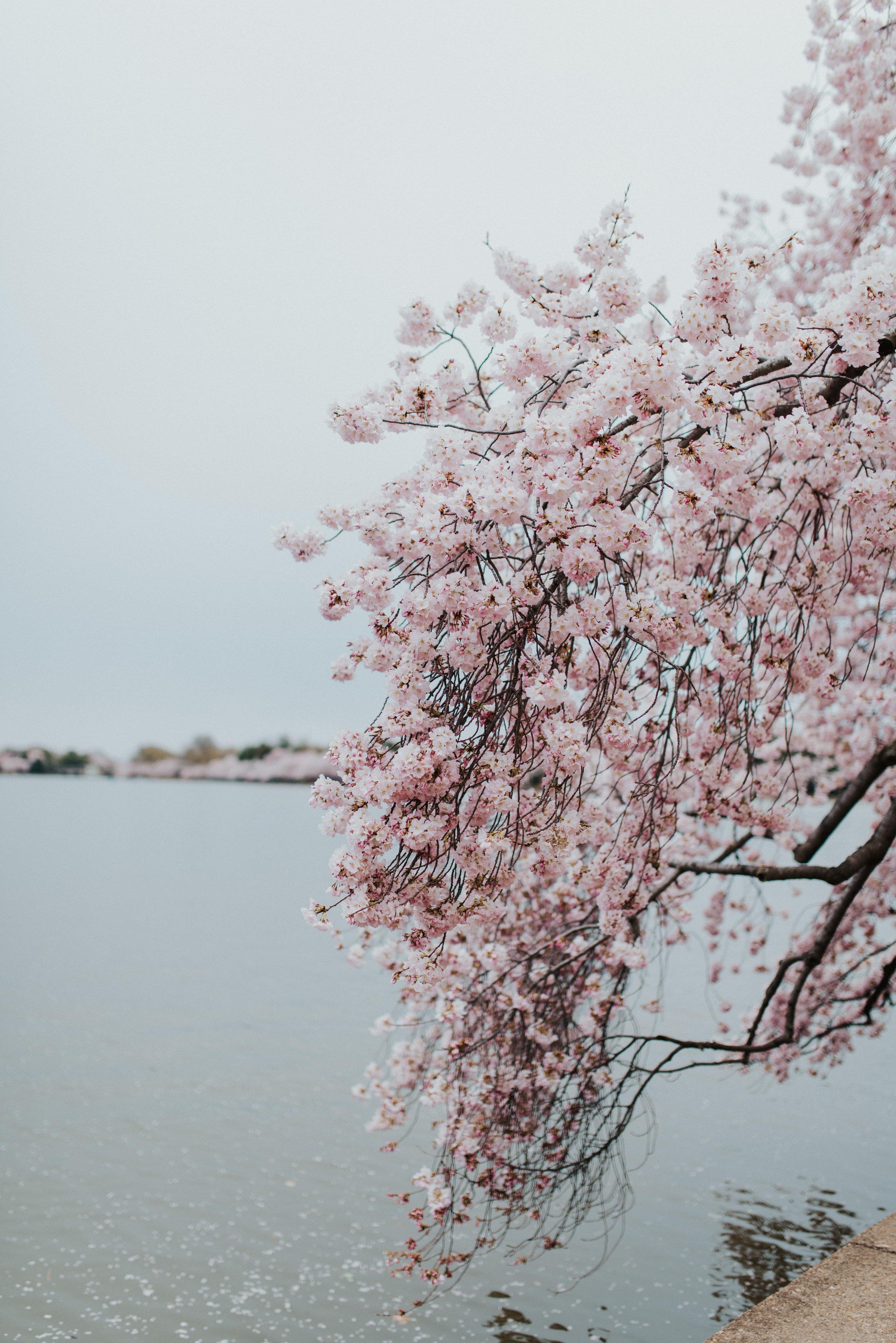 Cherry Bloomers Festival-6754.jpg