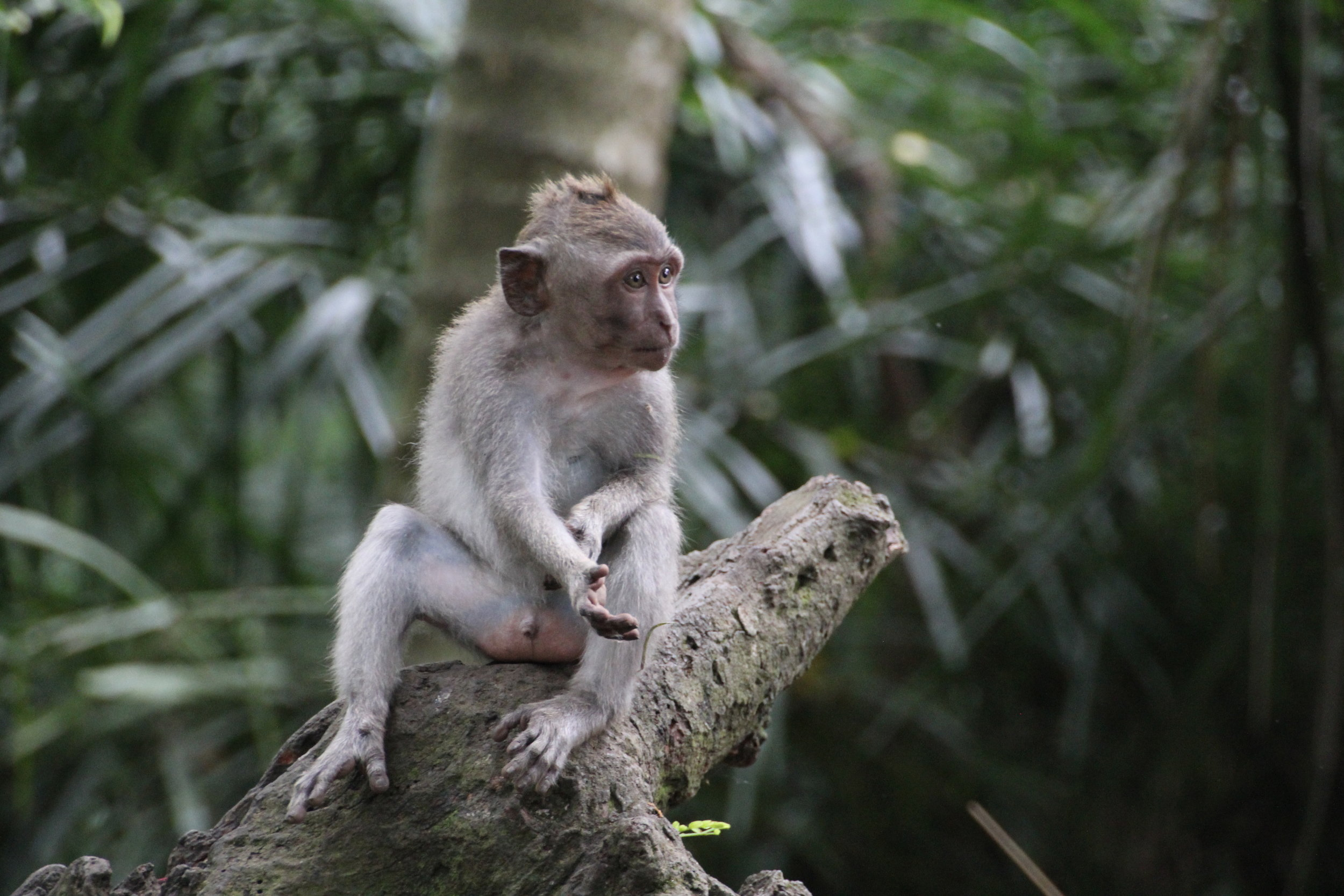 Monkey Forest, Ubud