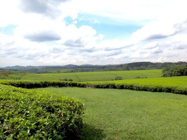 Tea plantation Uganda