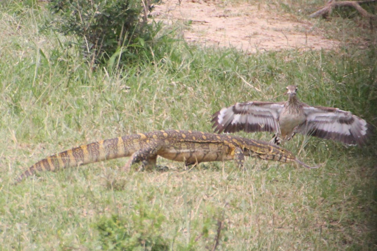 Monitor lizard vs. bad-ass bird