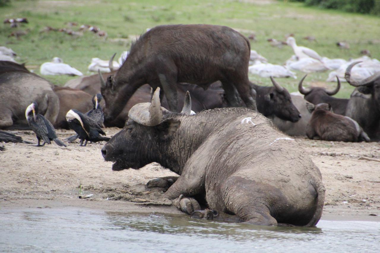 75 buffalo.jpg