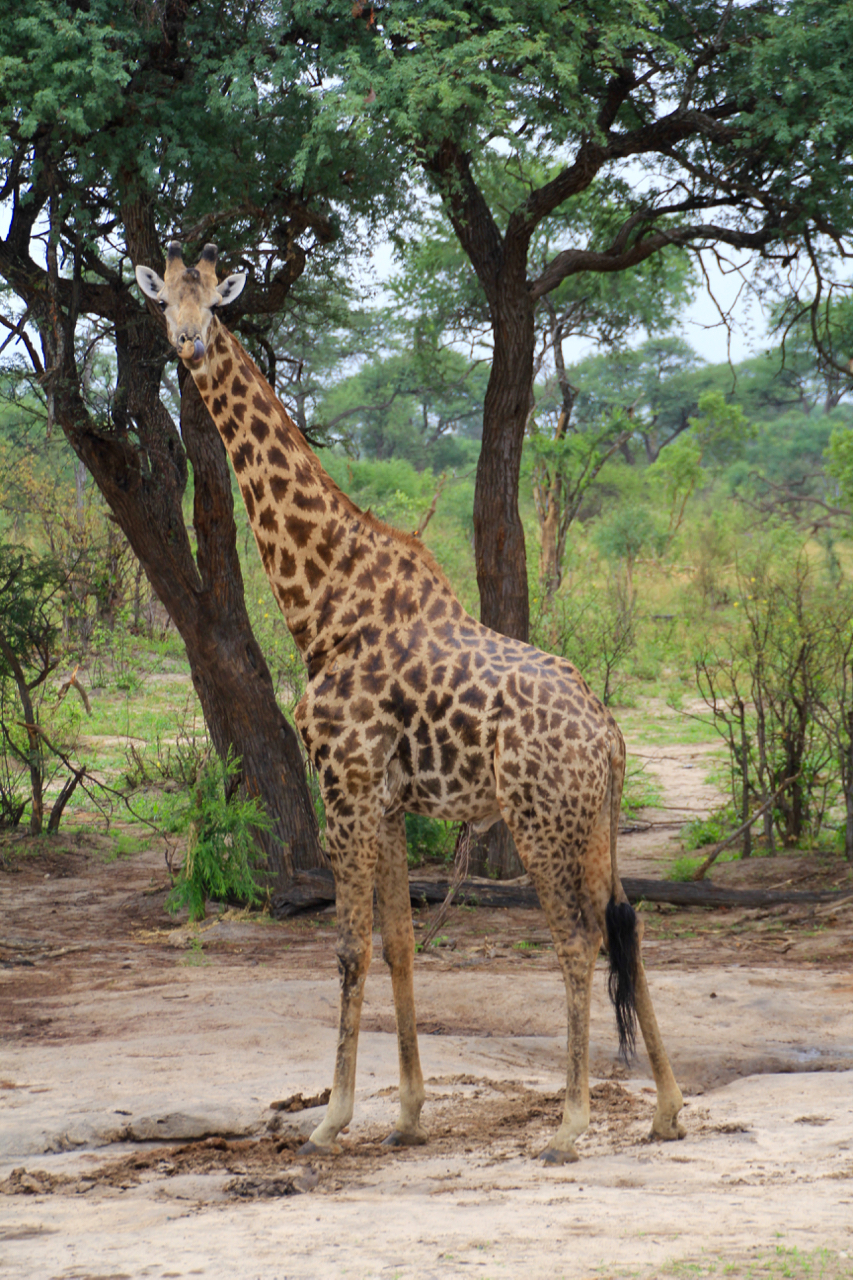 Stopped to take a photo of a giraffe on the side of the road...