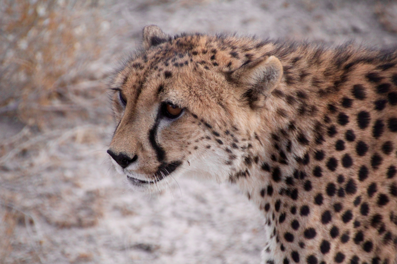 cheetah up close.jpg