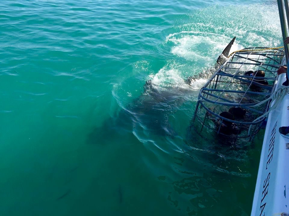 Shark Dive Gansbaii