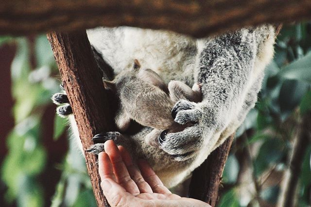 Tiny baby finding comfort in mumma's pouch 🐨