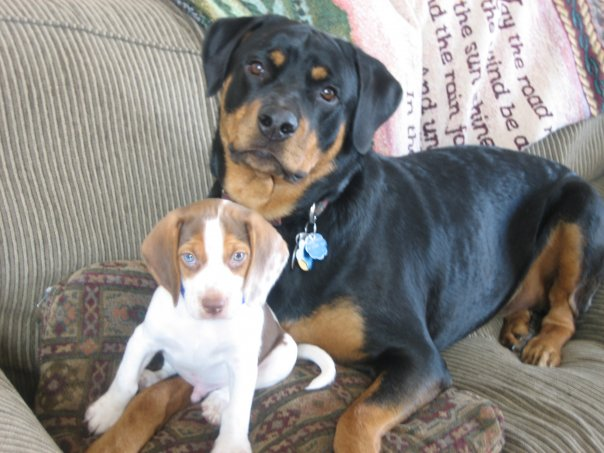 Our fur babies- Stella the Rottie and Rocky the Beagle