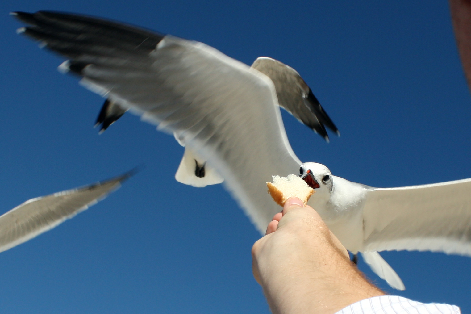 A seagull plucks bread out of a man's hand in Bethany Beach, Del.