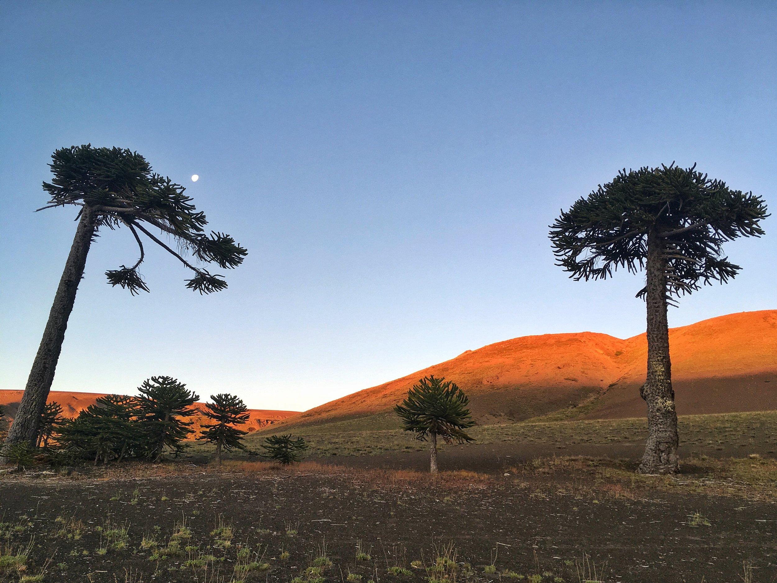 Araucaria araucanas standing tall at sunset