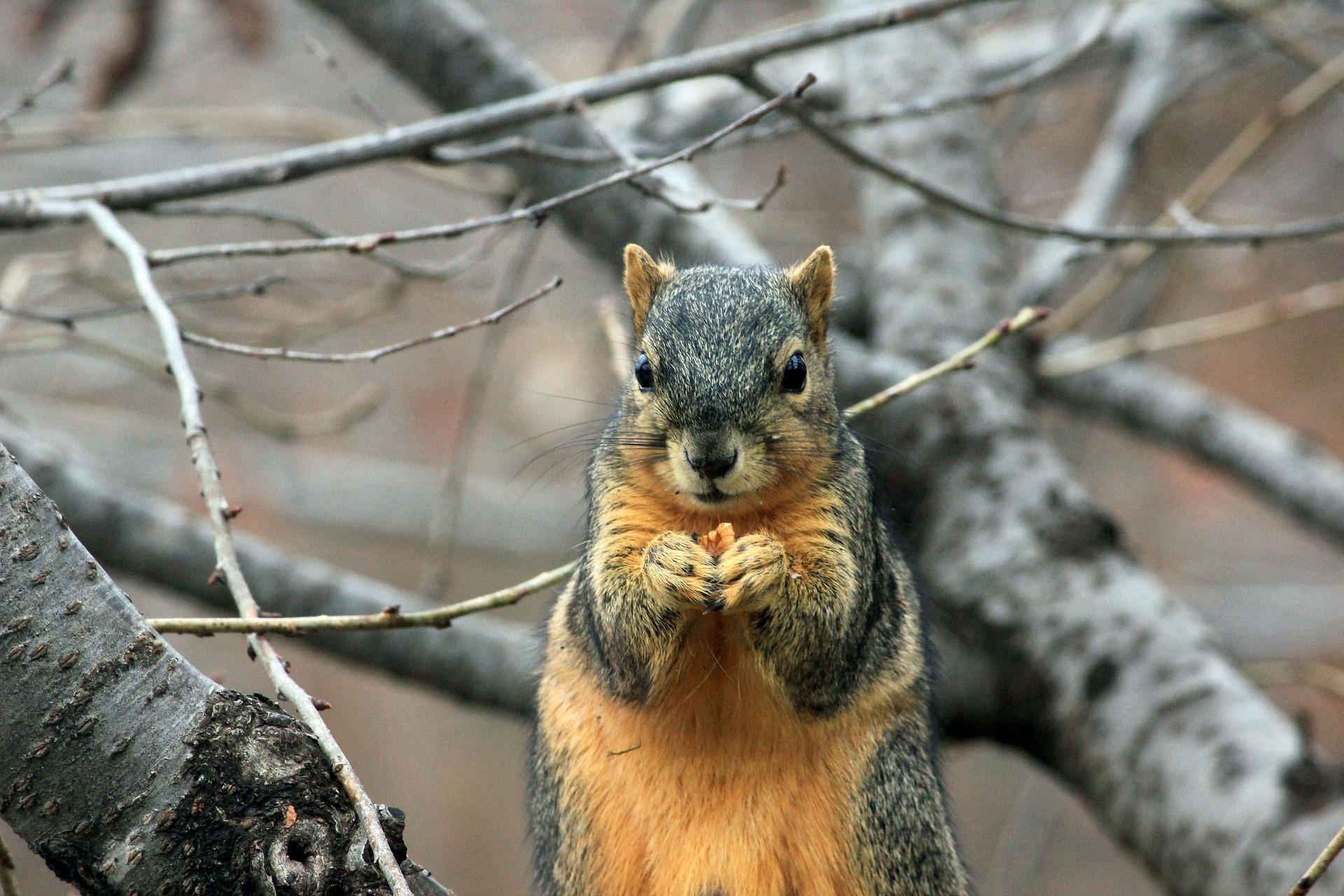 Squirrel Removal, Squirrel Control, Squirrels, Wildlife Removal New Orleans, Wildlife Control New Orleans