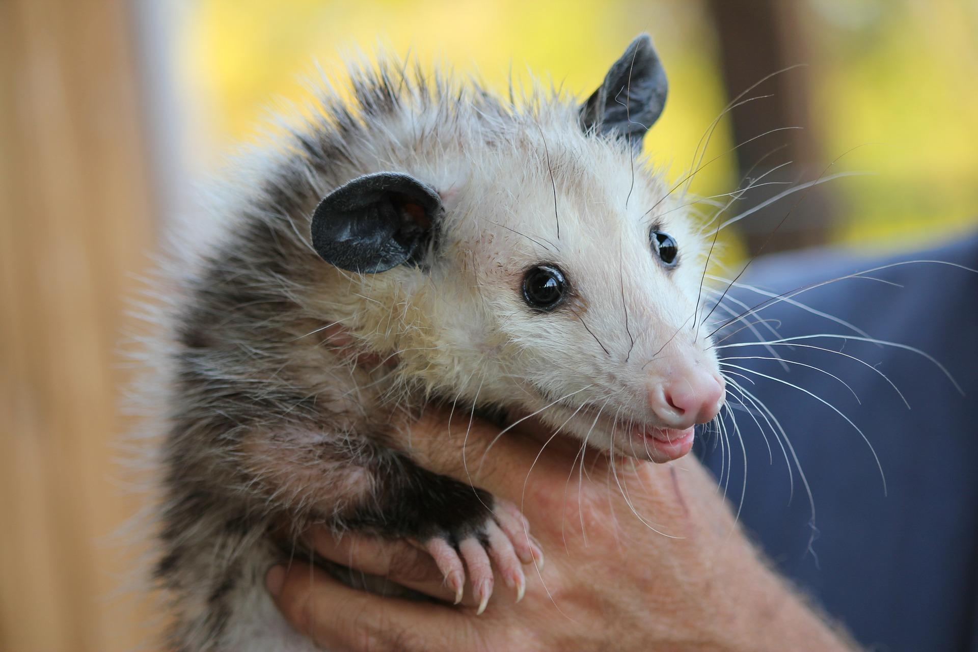 opossum, opossums, opossum removal, opossum control, wildlife removal, wildlife control, New Orleans opossum removal