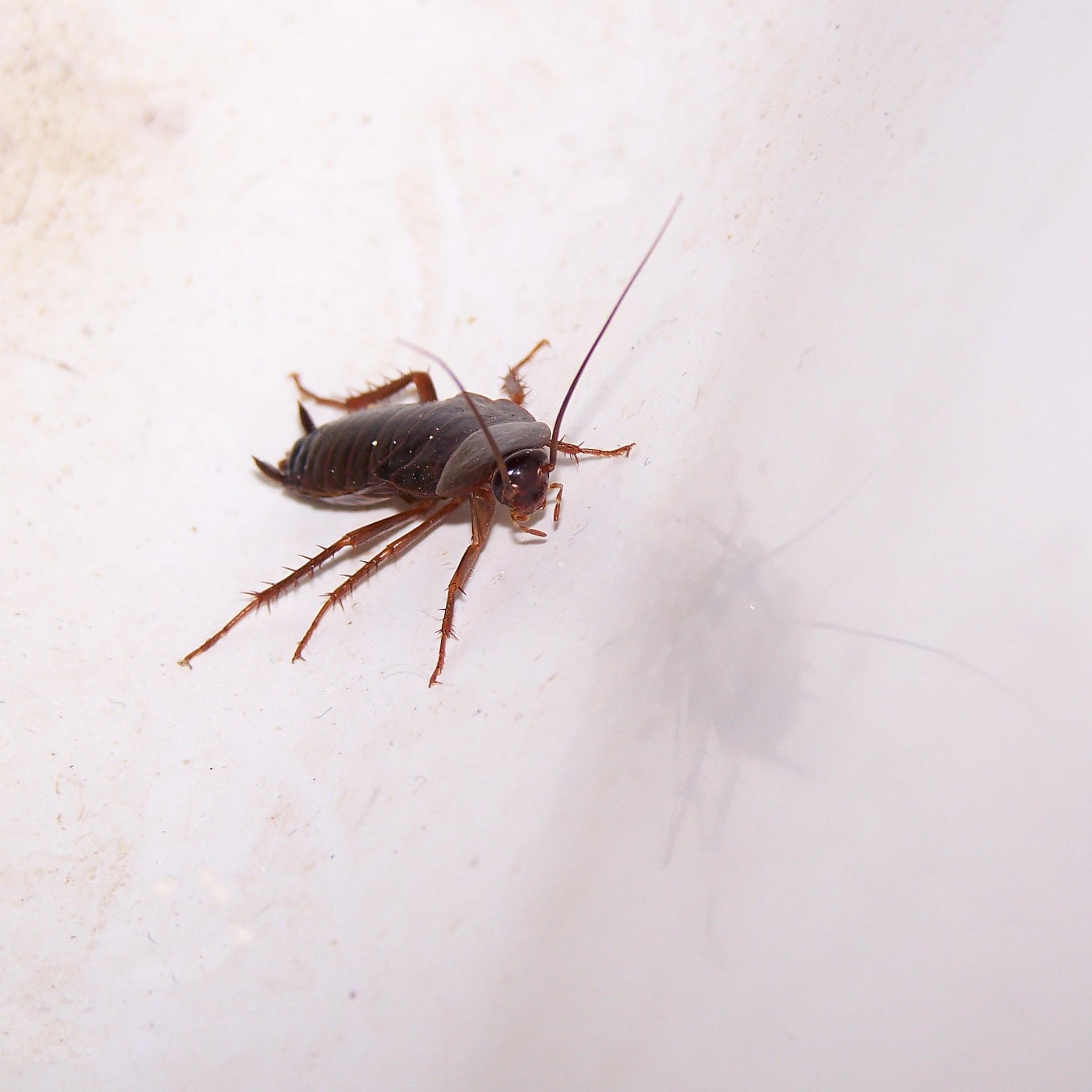 Roaches, cockroaches, general pest control, roach removal New Orleans, Kenner roach removal, Metairie roach removal