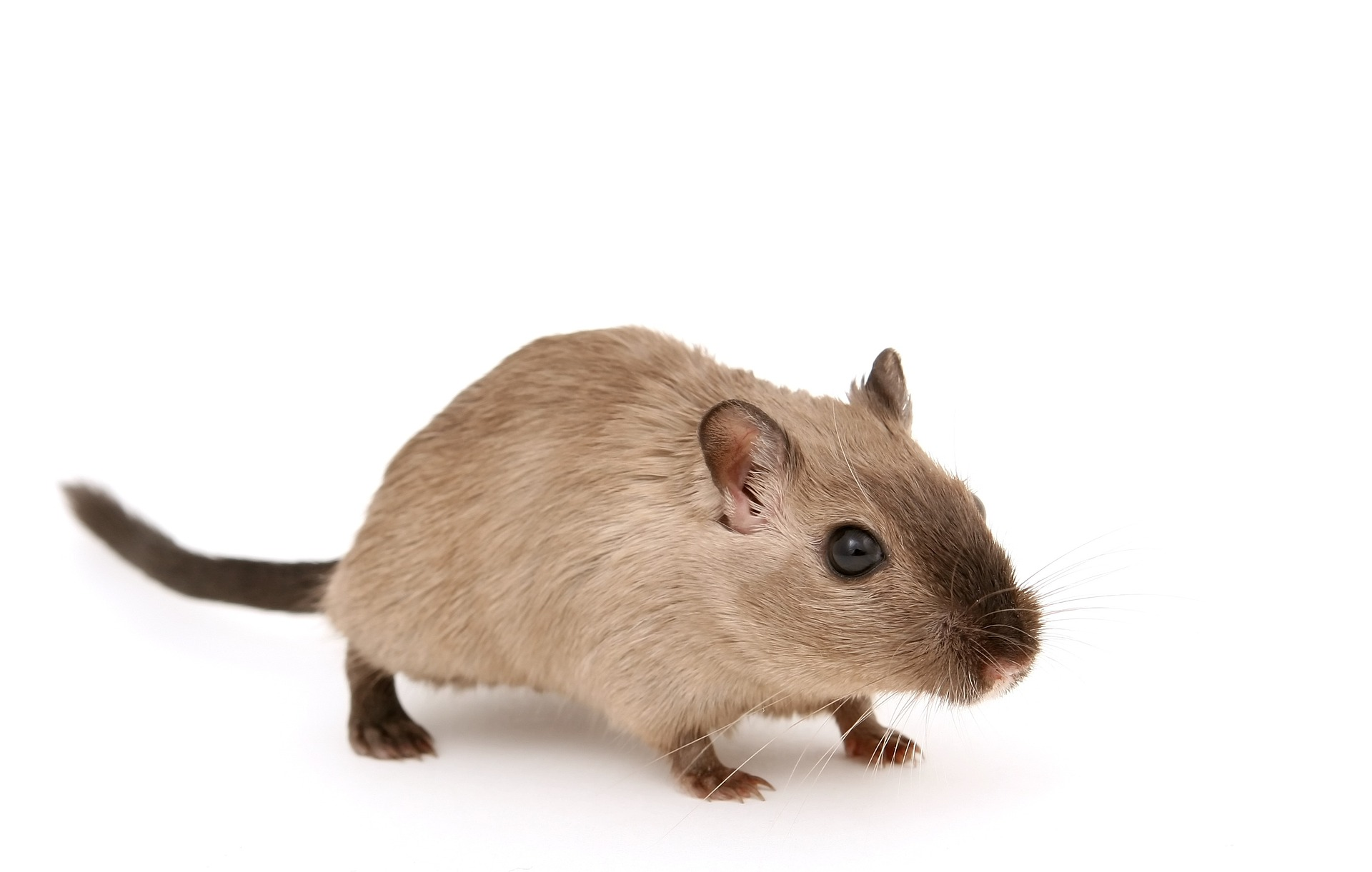 Rodents, mice, rats, rodent removal New Orleans, Nola rodent exterminator, Pest Control, Dial One Franklynn Pest Control