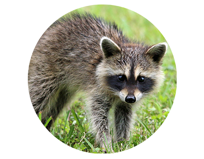 Wildlife Removal, Wildlife Control, Wildlife Removal New Orleans