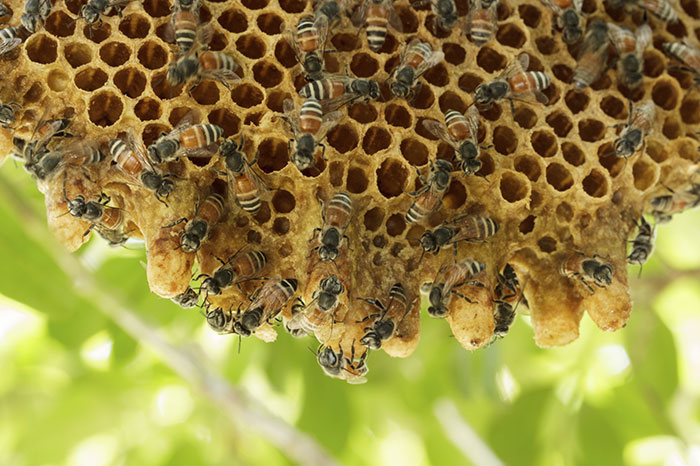 New Orleans Honey Bees