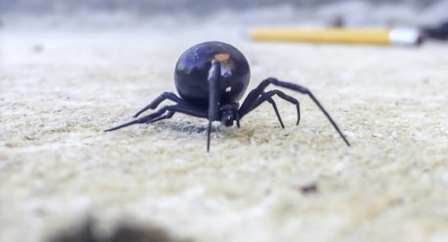 Black Widow, Spider, Spiders, Spider Removal, Spider Control, New Orleans Spider Removal, Nola Spider Removal