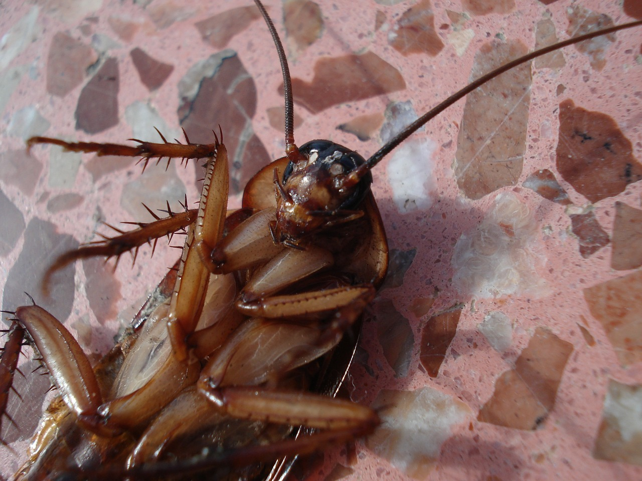 cockroach-15093_1280.jpg