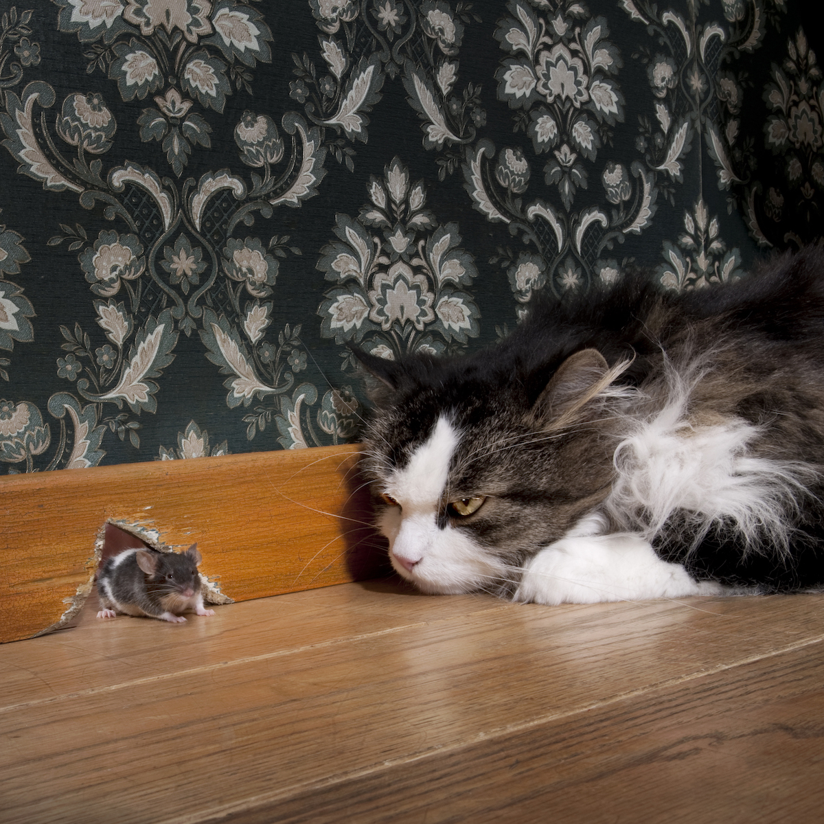 cat-staring-at-a-mouse-coming-out-of-her-hole-P8WGZJY.jpg