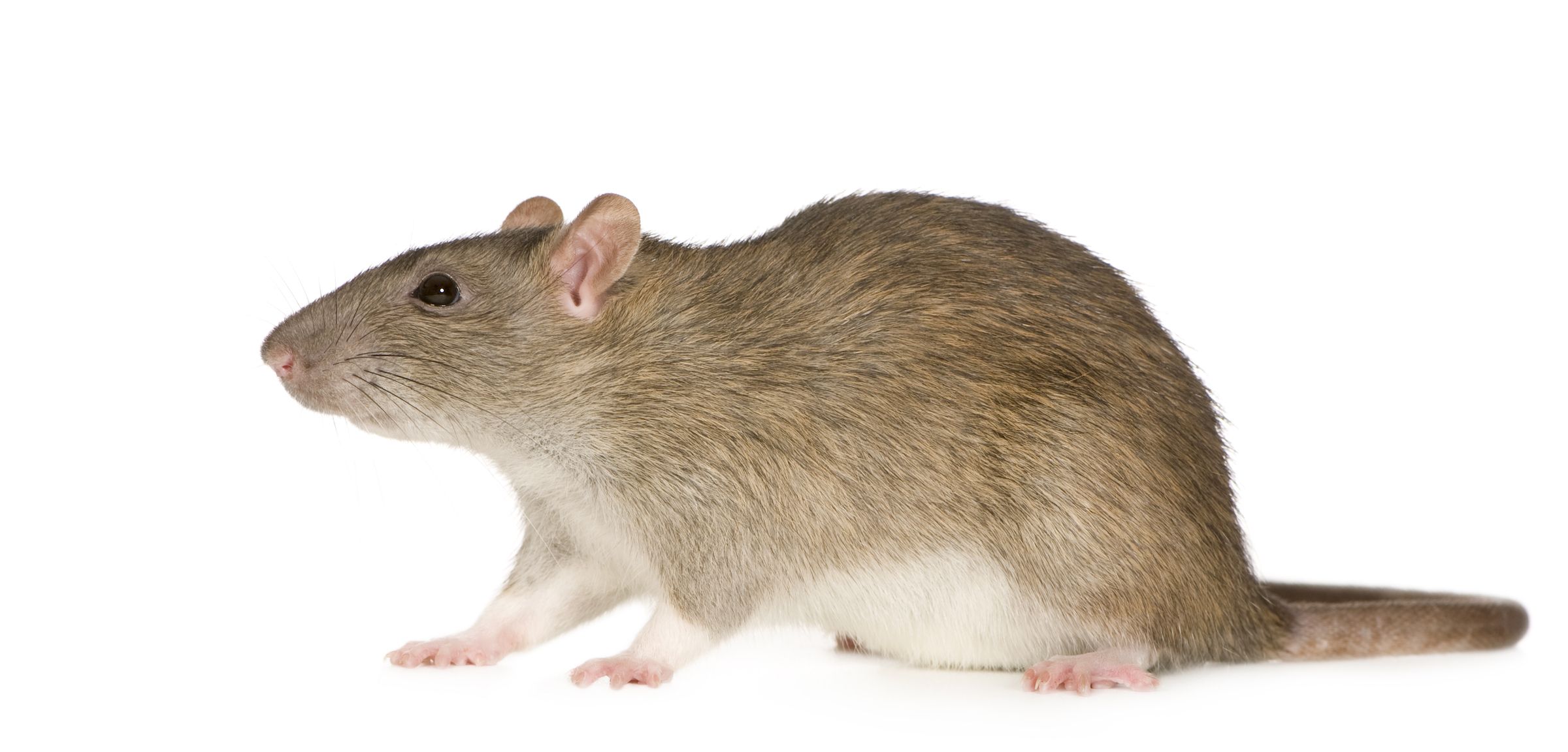Rodent Removal, Rodent Control, Pest Control New Orleans, Dial One Franklynn Pest Control, Rats, Mice