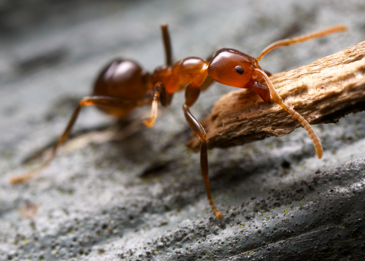 Ants, Ant Removal, Ant Control, Pest Control