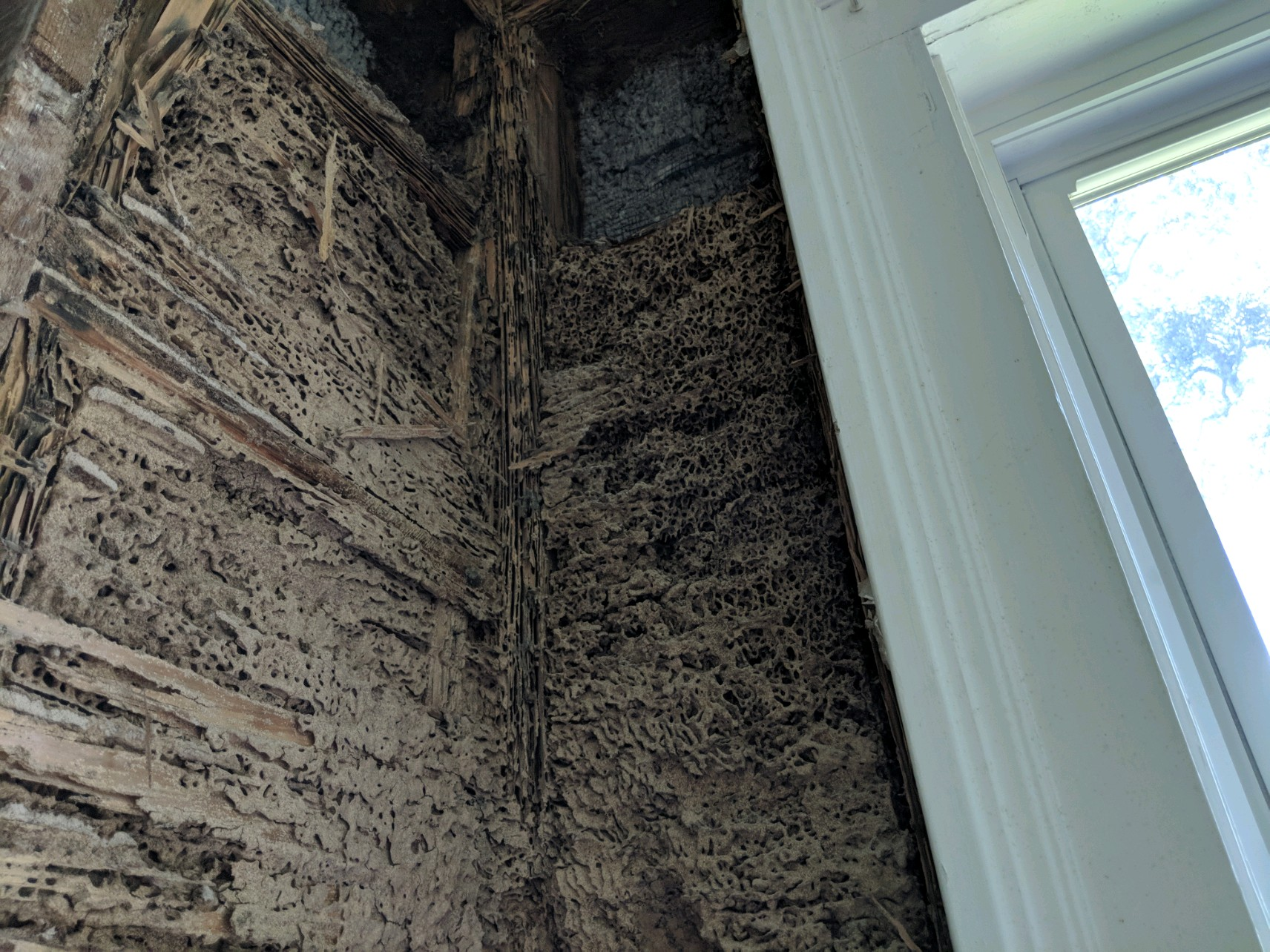 Large Formosan termite nest inside the wall of a residential New Orleans home. Formosan termites can build nests both above and below ground. Above ground, these nests are called cartons