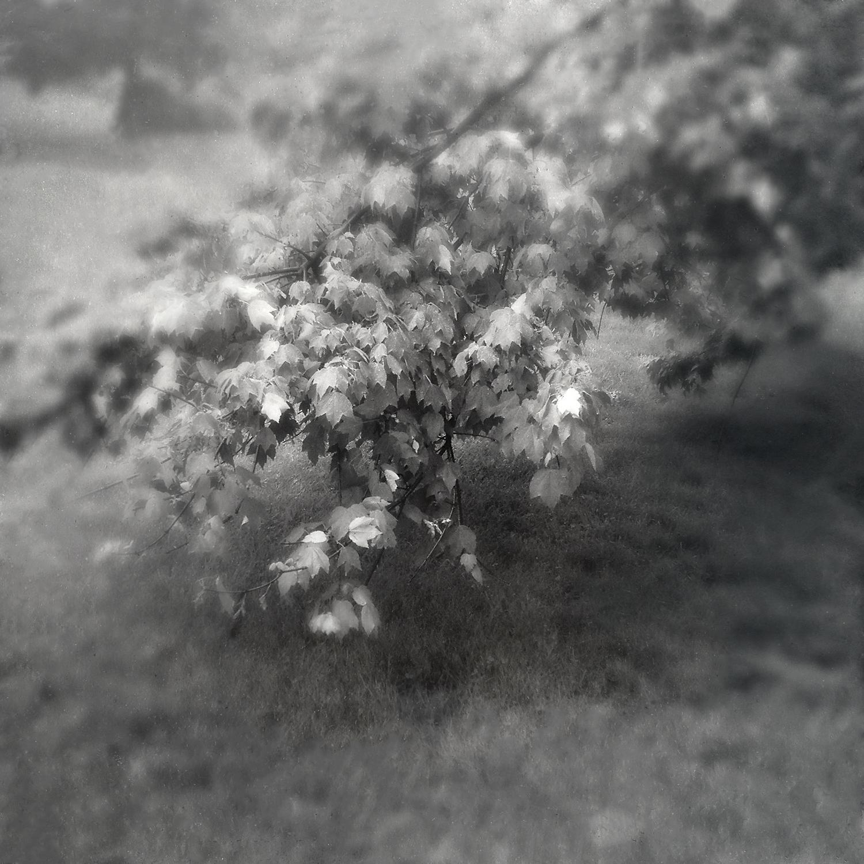 Tree-Maple-Leaves.jpg