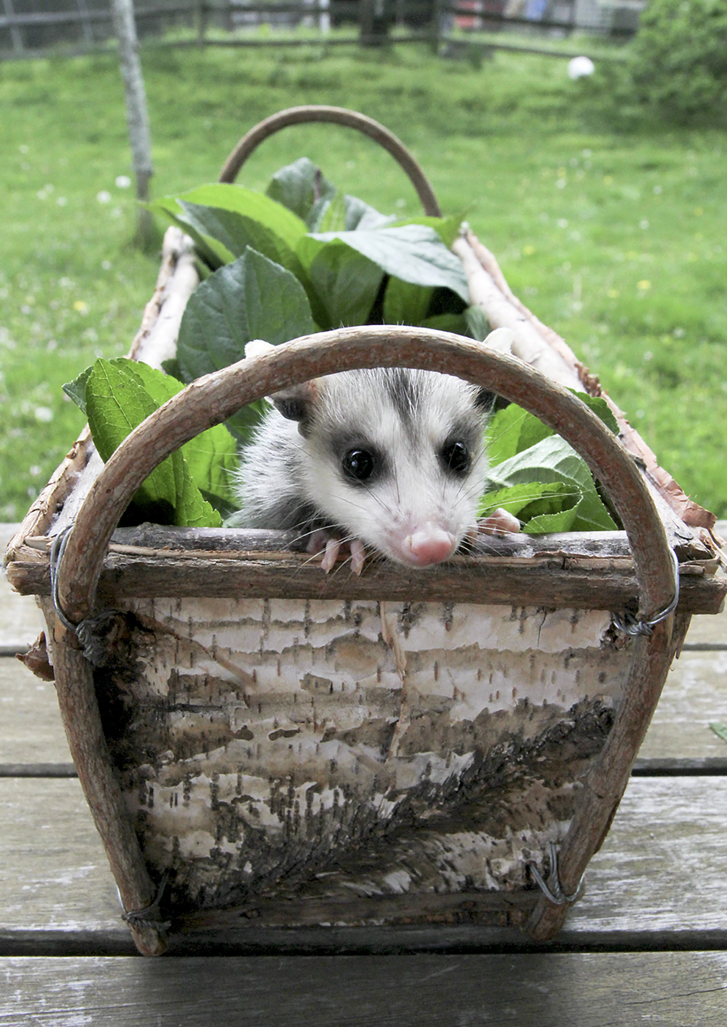 Opossum-Possum-Baby-Wildlife-Sanctuary.jpg