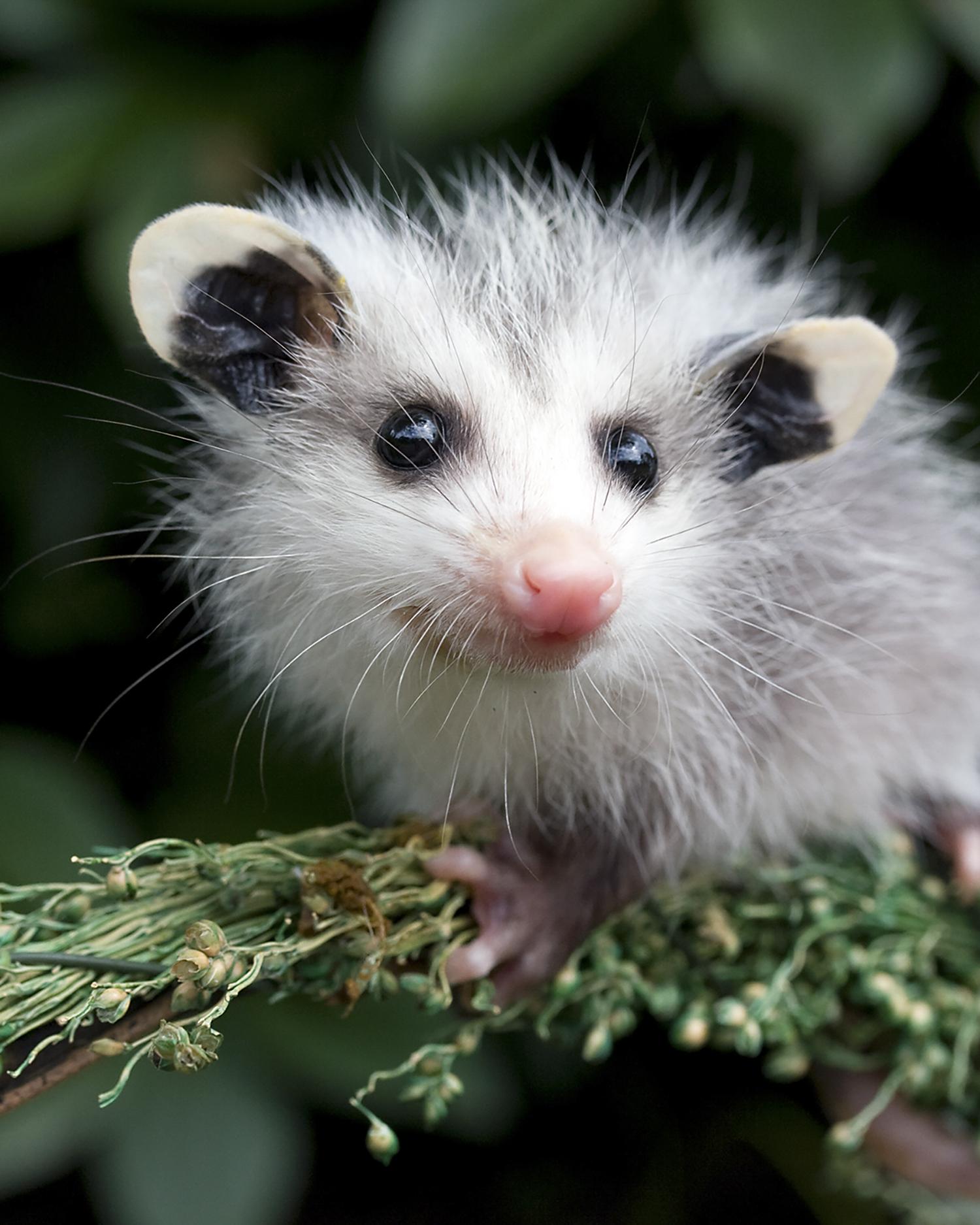 Opossum-Possum-Wildlife-Sanctuary-Baby.jpg