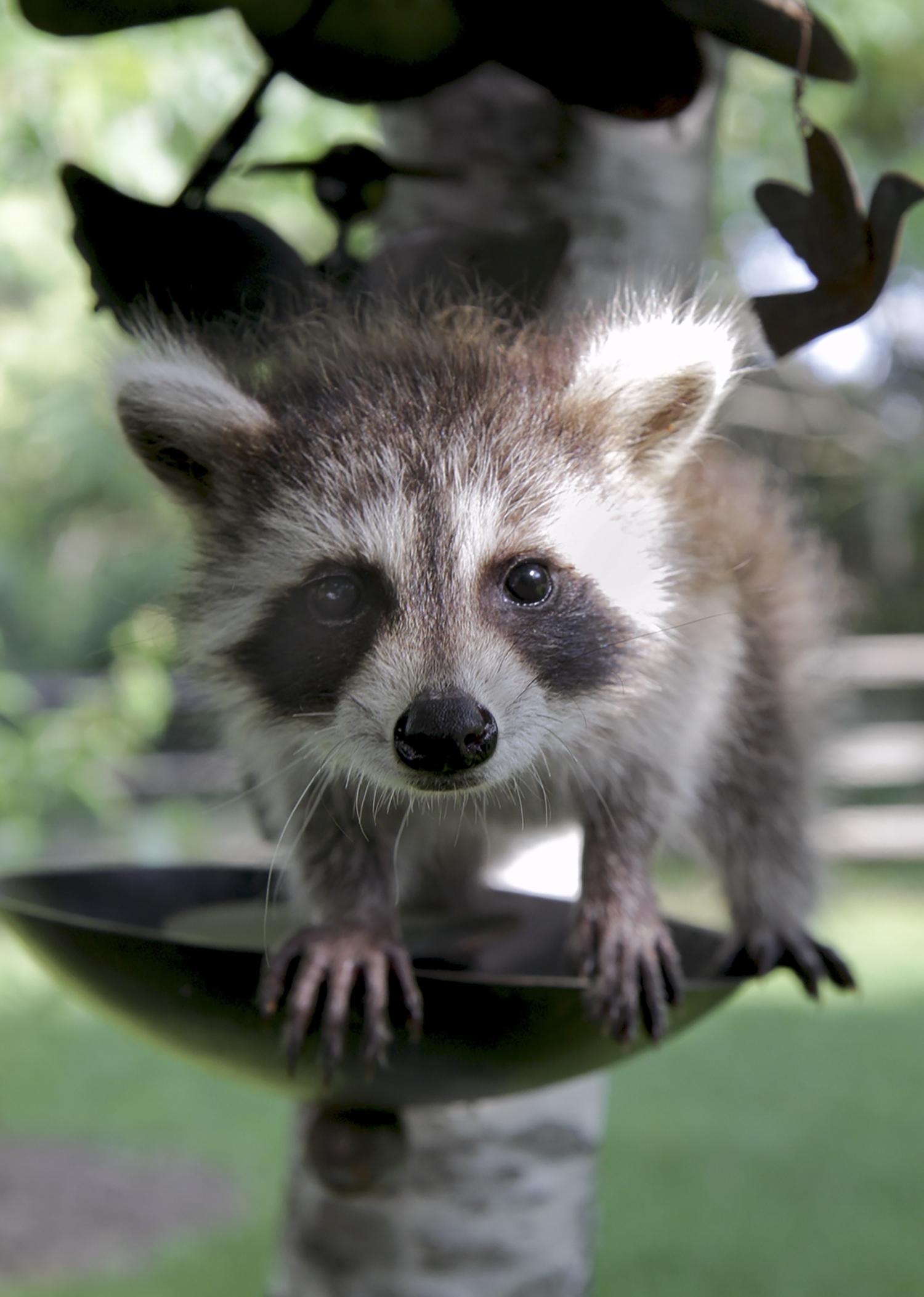 Raccoon-Baby-Wildlife-Sanctuary-Birdfeeder.jpg