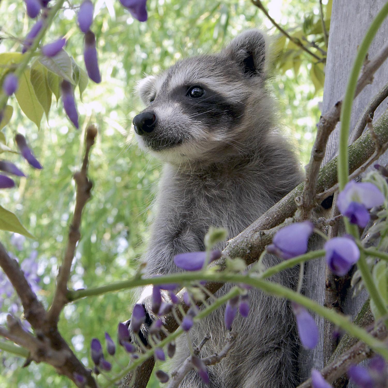 Raccoon-Baby-Wildlife.jpg