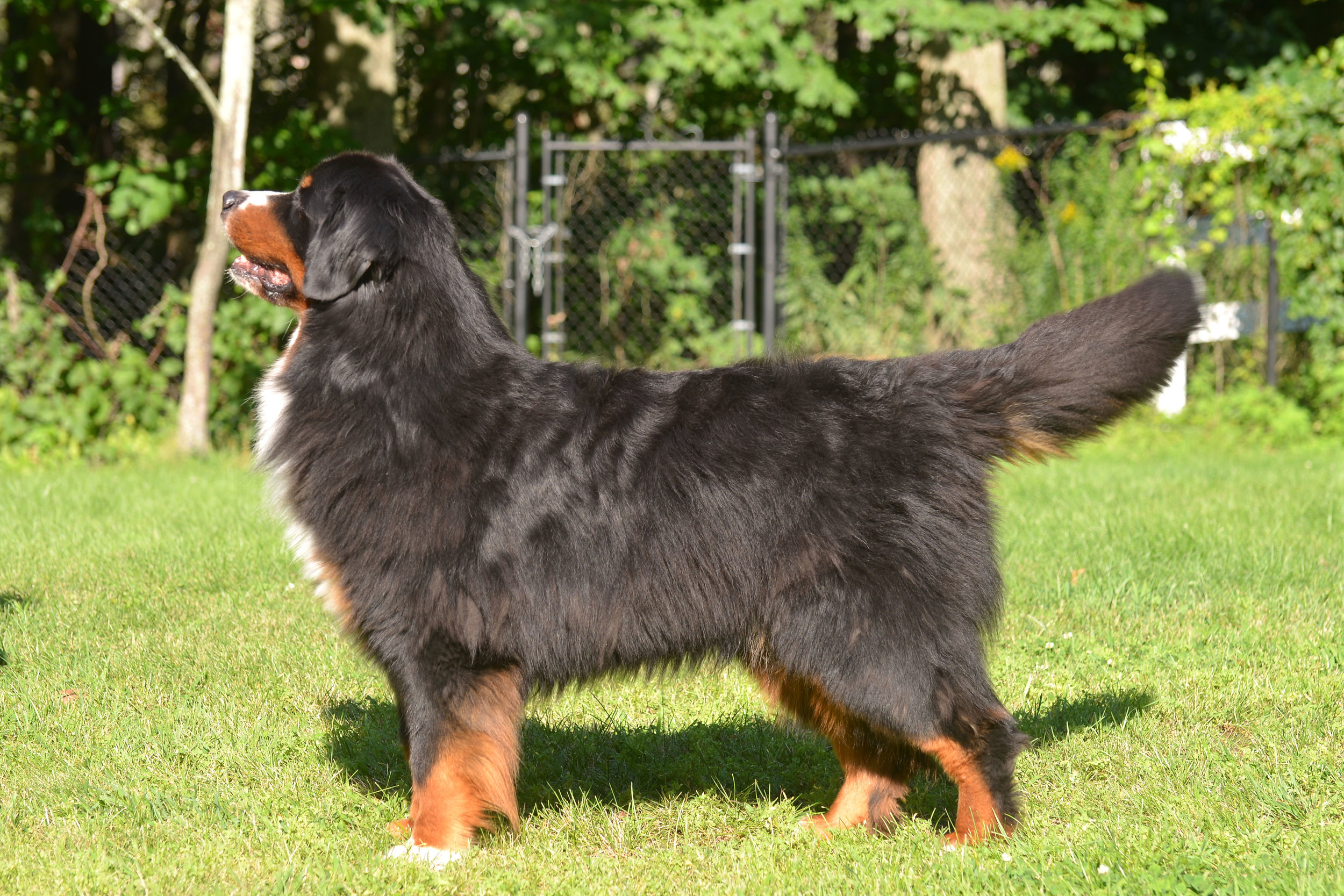 """Wesley - """"Mystic's New England Patriot"""" almost 6 yrs old"""