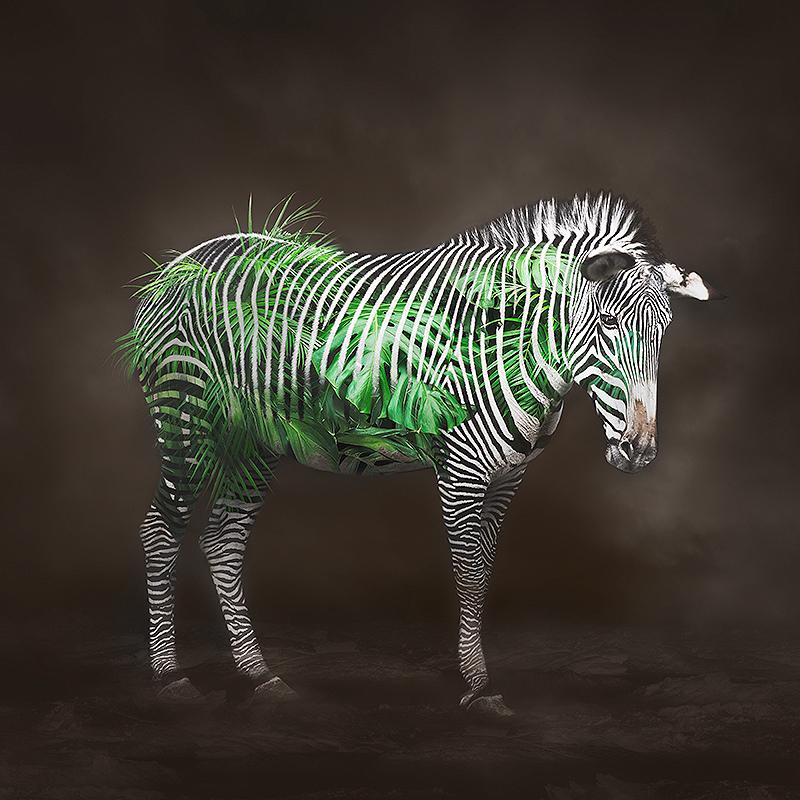 9_Zebra(C)ErikoKaniwa.jpg
