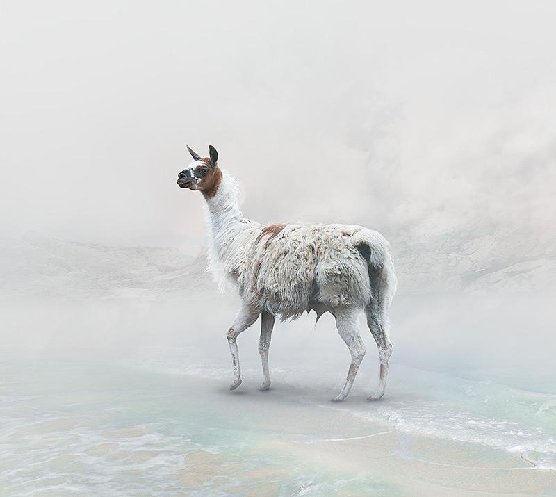 ErikoKaniwa_Llama.jpg