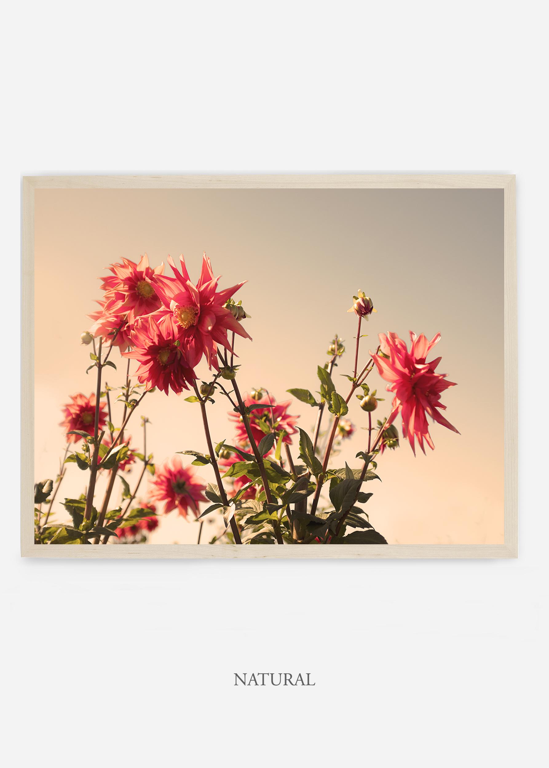 NoMat-Natural-Frame-DahliaNo.9-Wilder-California-Art-Floral-Home-decor-Prints-Dahlia-Botanical-Artwork-Interior-design.jpg