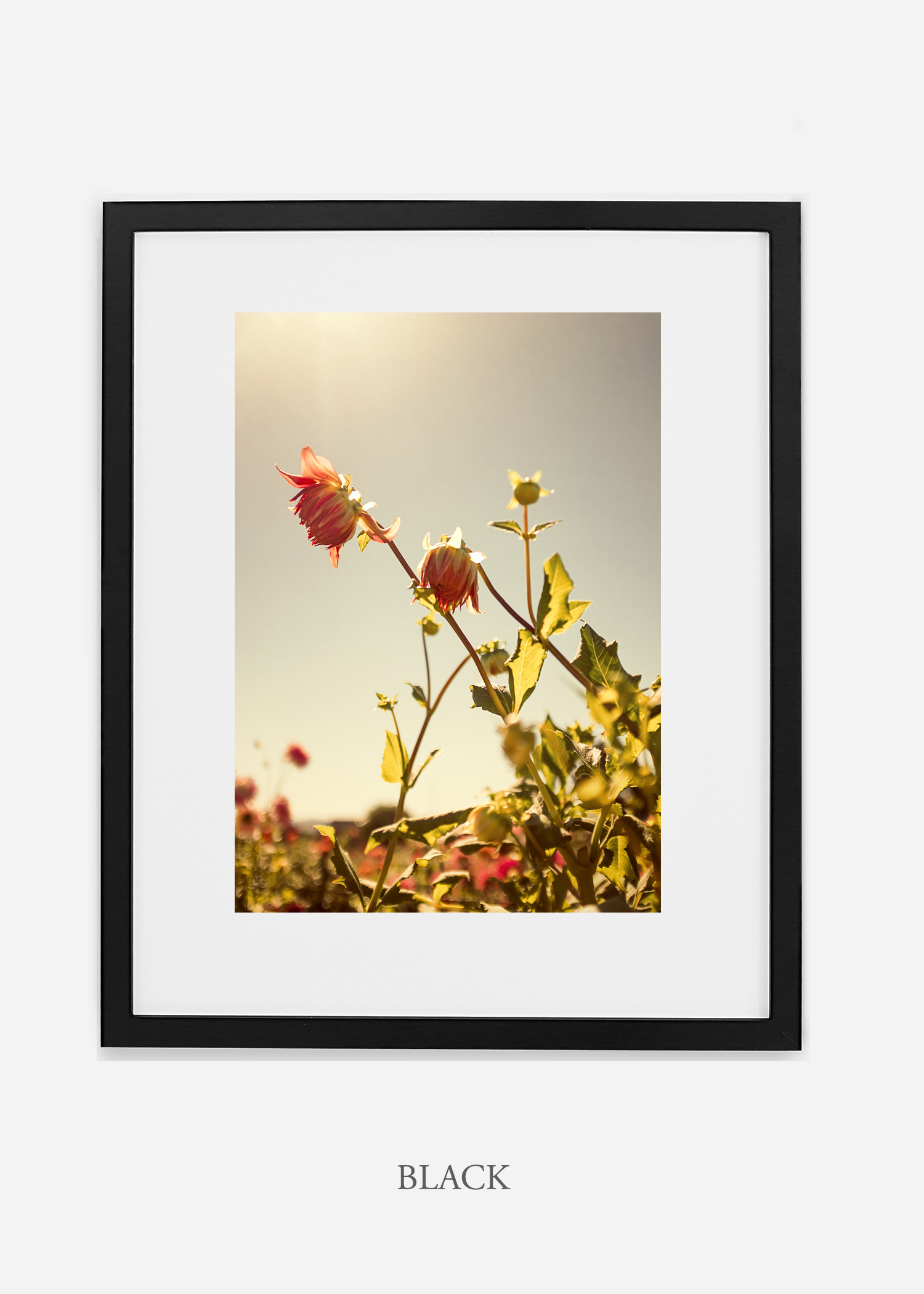 flora-no-10-black-mat-custom-frame-dahlia-print-floral-print-floral-art-wilder-california-botanical-prints-home-decor-design-prints-print-shop.jpg