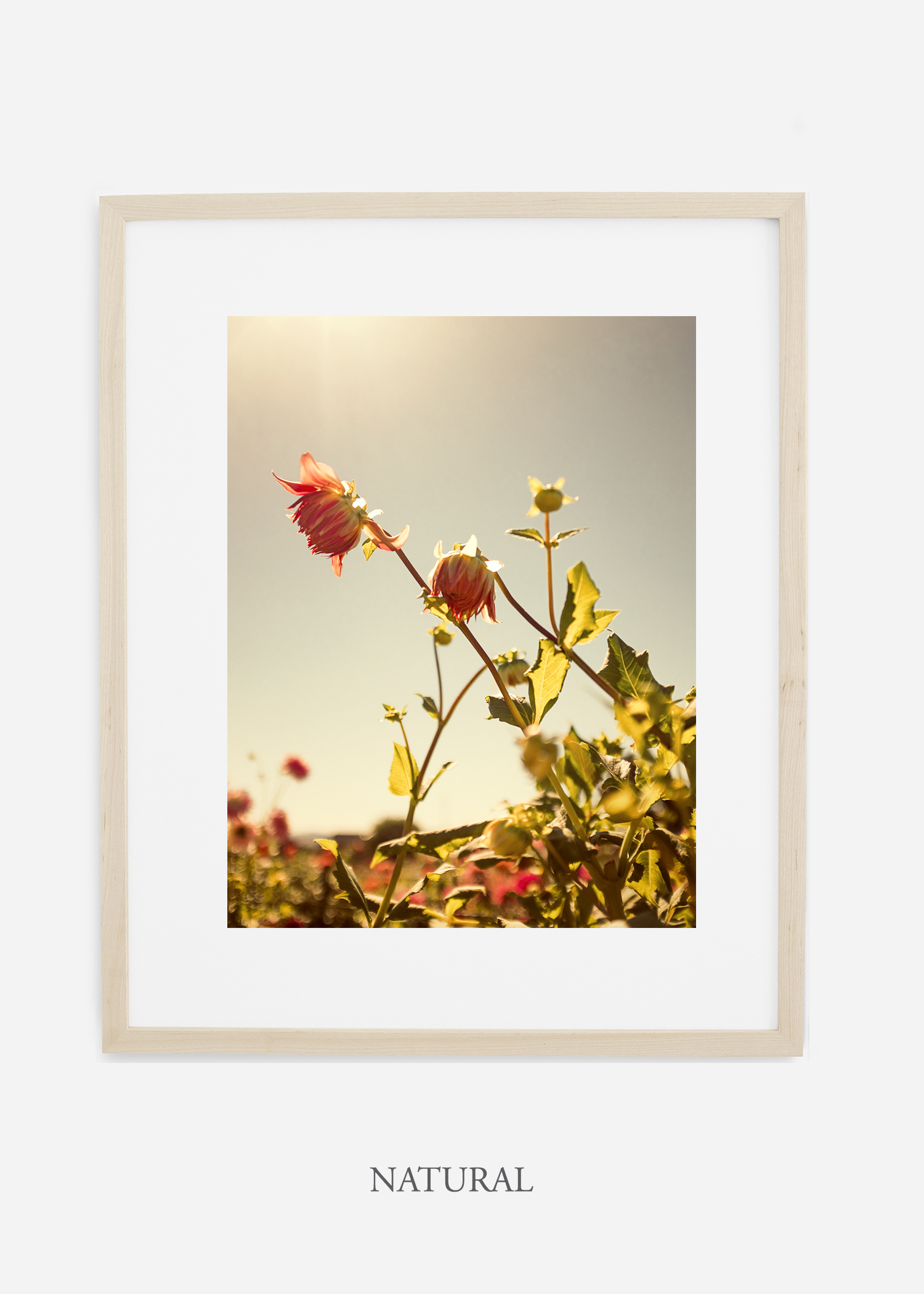 flora-no-10-natural-mat-custom-frame-dahlia-print-floral-print-floral-art-wilder-california-botanical-prints-home-decor-design-prints-print-shop.jpg