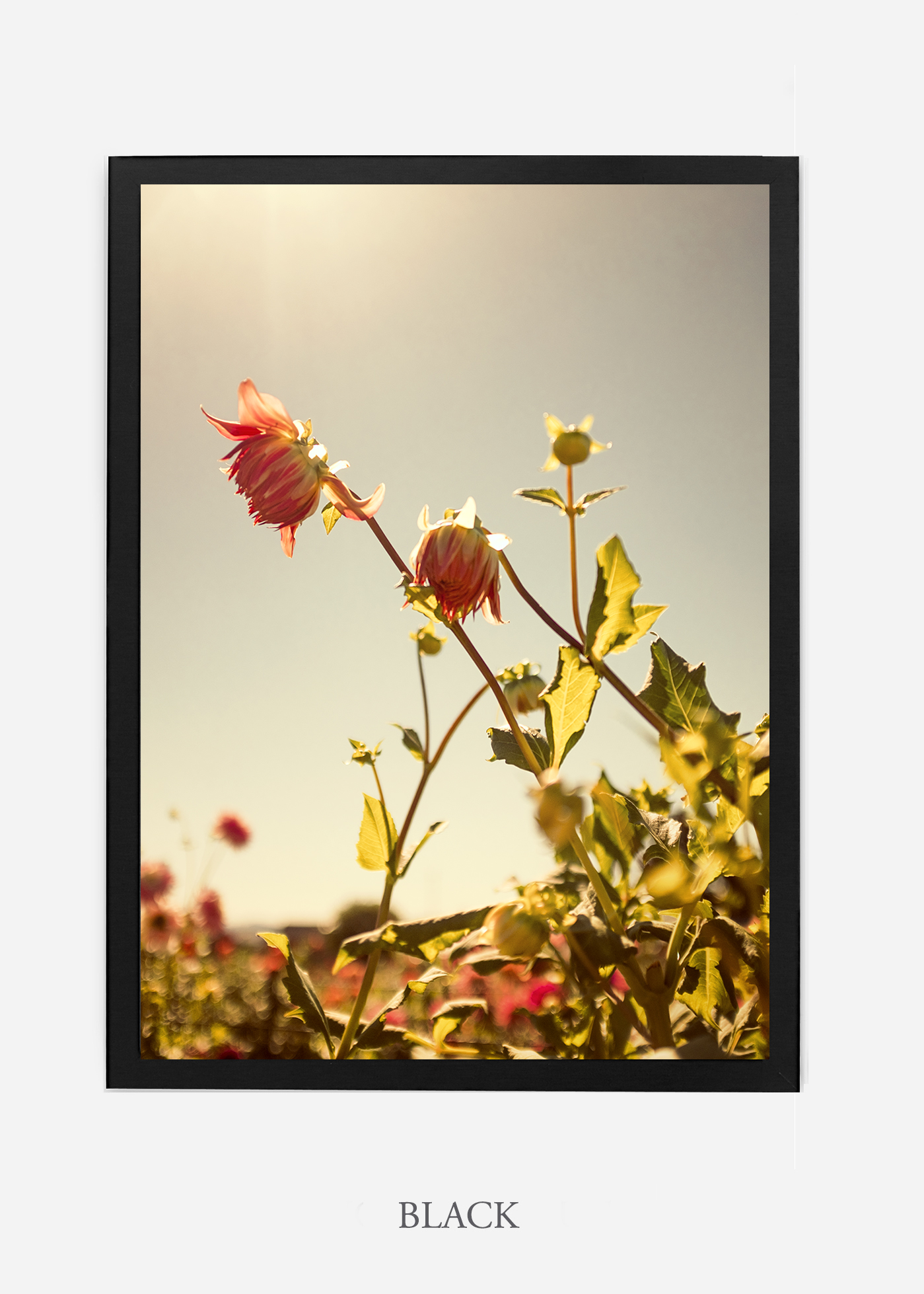 flora-no-10-black-custom-frame-dahlia-print-floral-print-floral-art-wilder-california-botanical-prints-home-decor-design-prints-print-shop.jpg