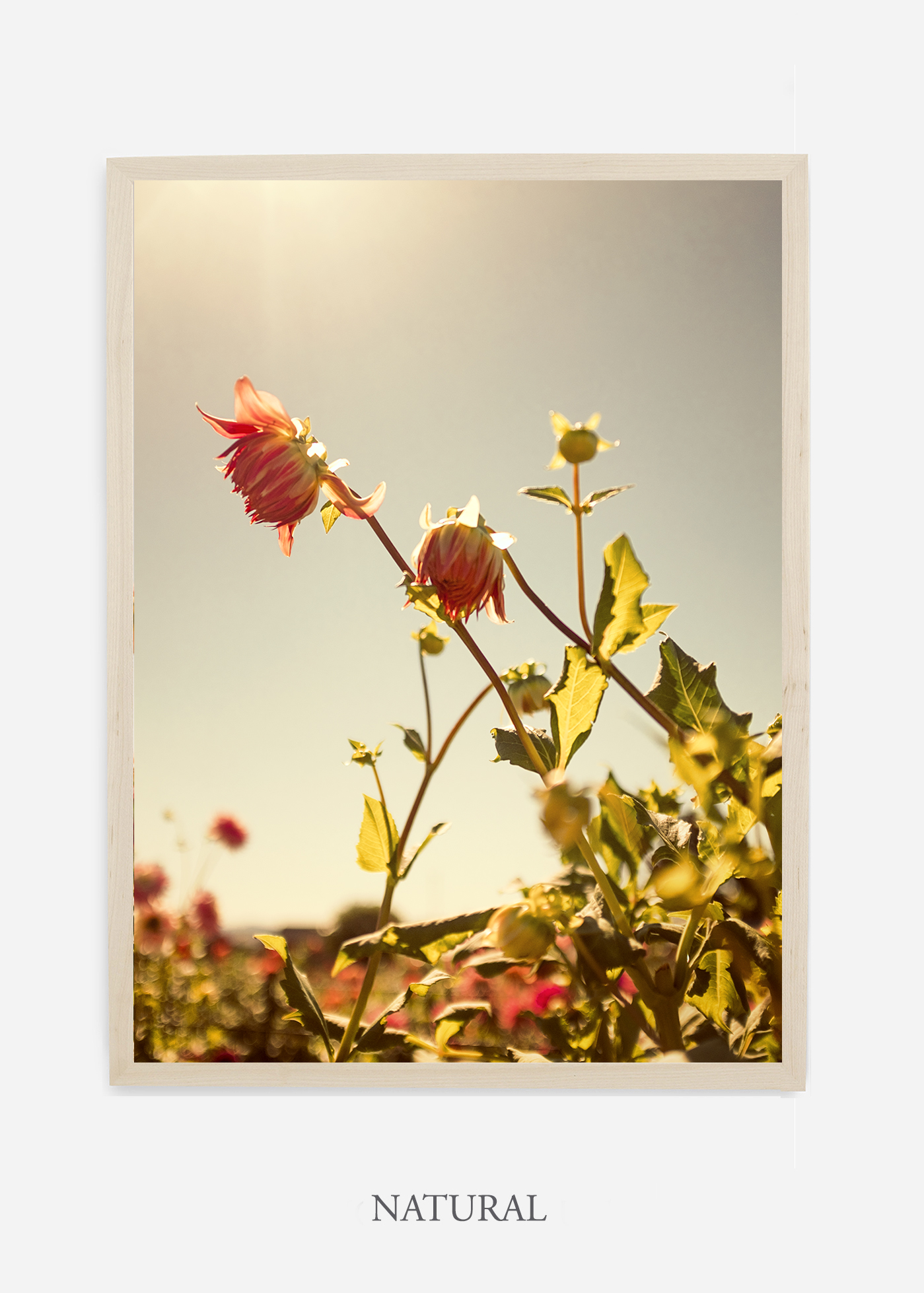 flora-no-10-natural-custom-frame-dahlia-print-floral-print-floral-art-wilder-california-botanical-prints-home-decor-design-prints-print-shop.jpg