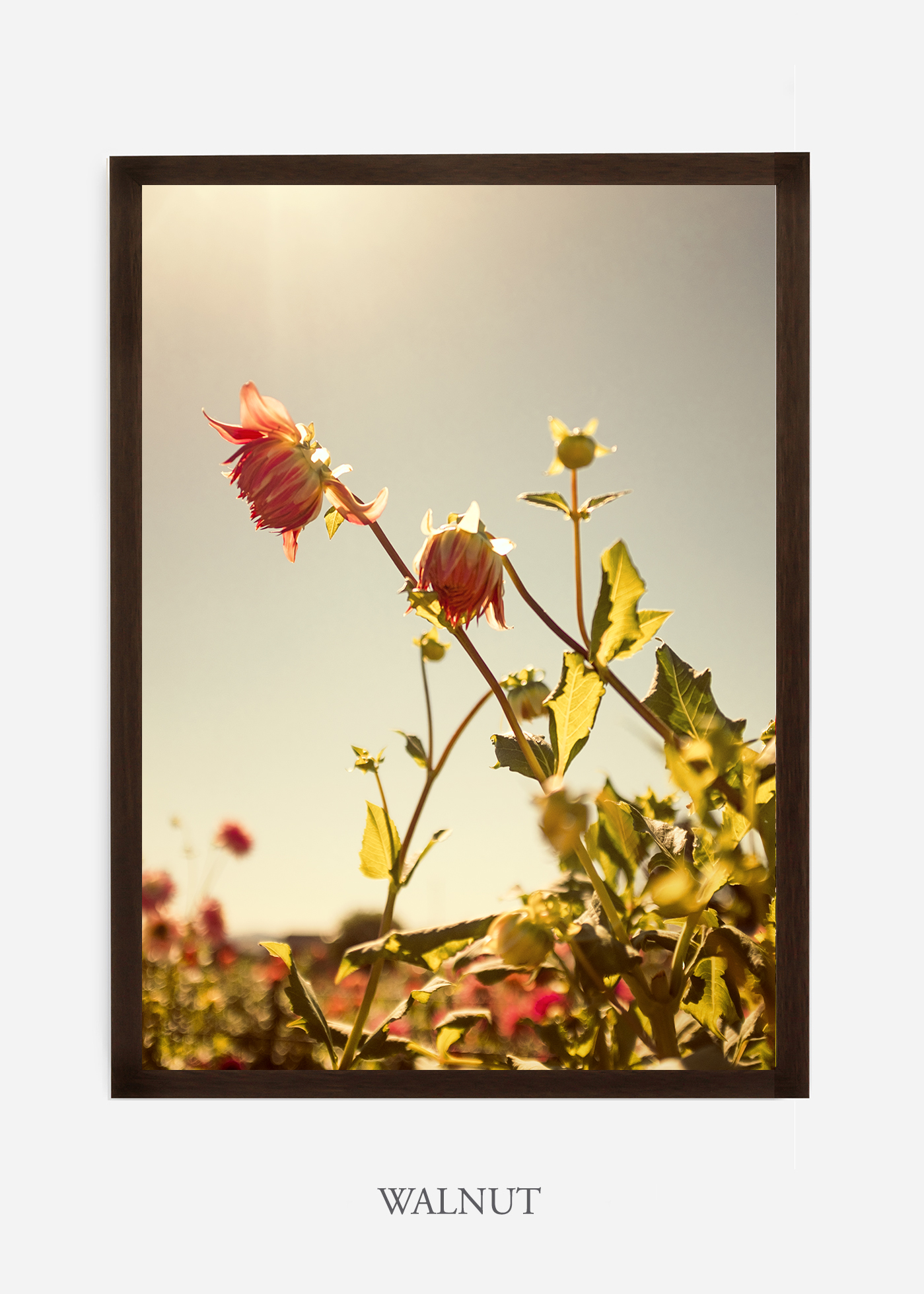 flora-no-10-walnut-custom-frame-dahlia-print-floral-print-floral-art-wilder-california-botanical-prints-home-decor-design-prints-print-shop.jpg