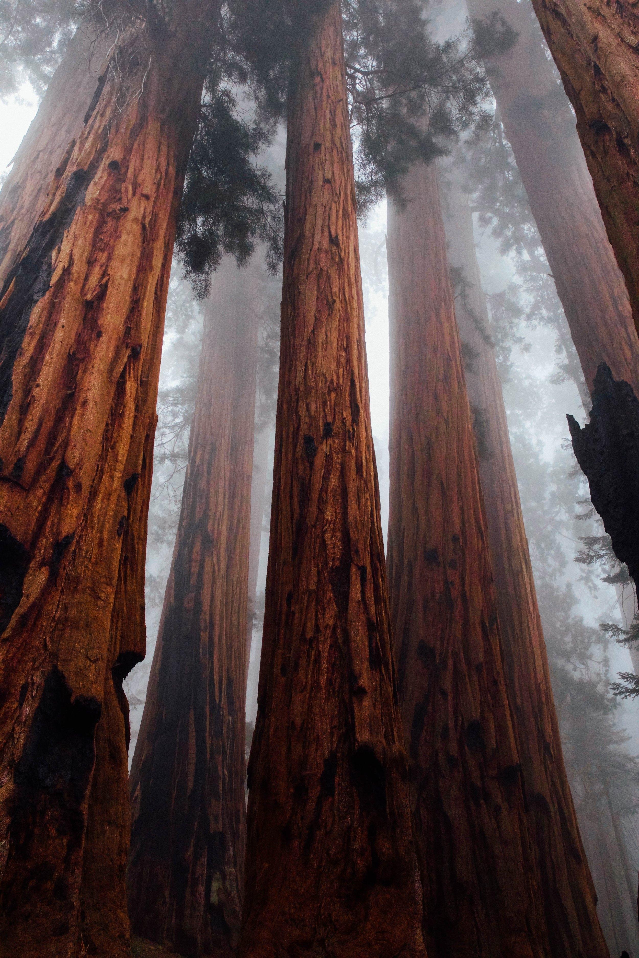 Giant Sequoias.jpg