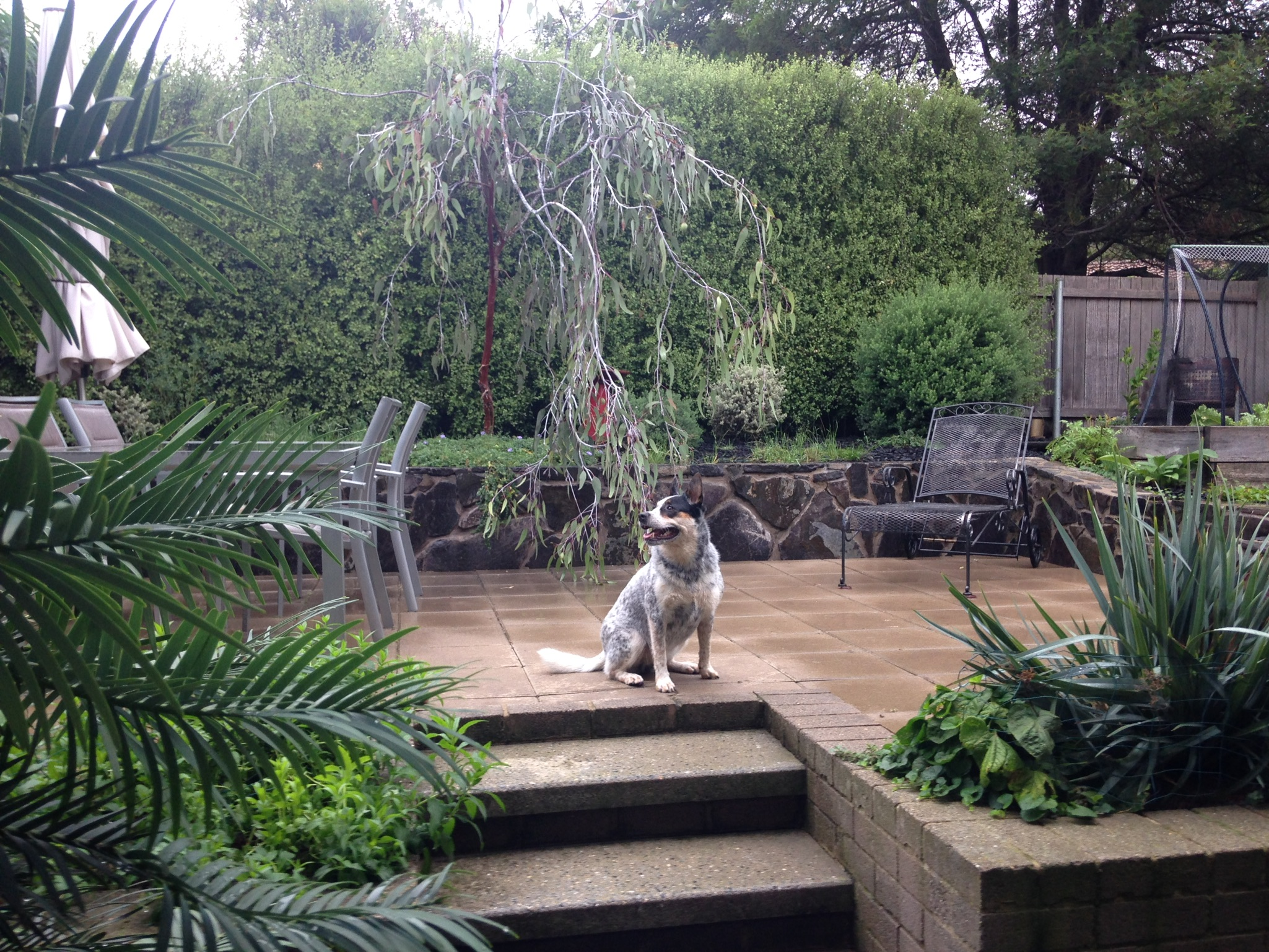 "Joel's backyard AFTER (""just look natural, Zef"")"