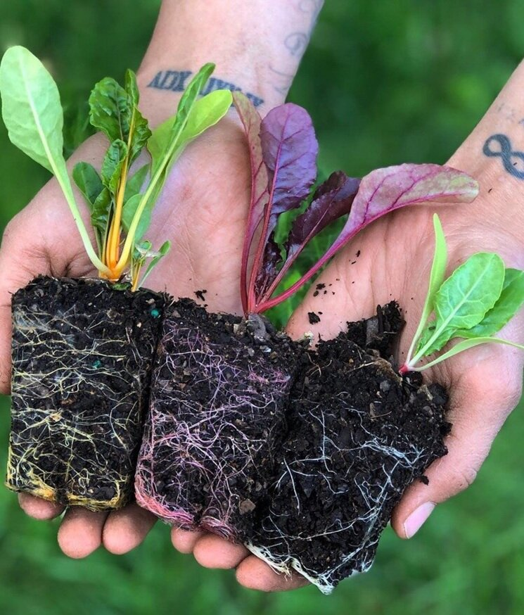 Swiss Chard transplants with beautiful root structure!